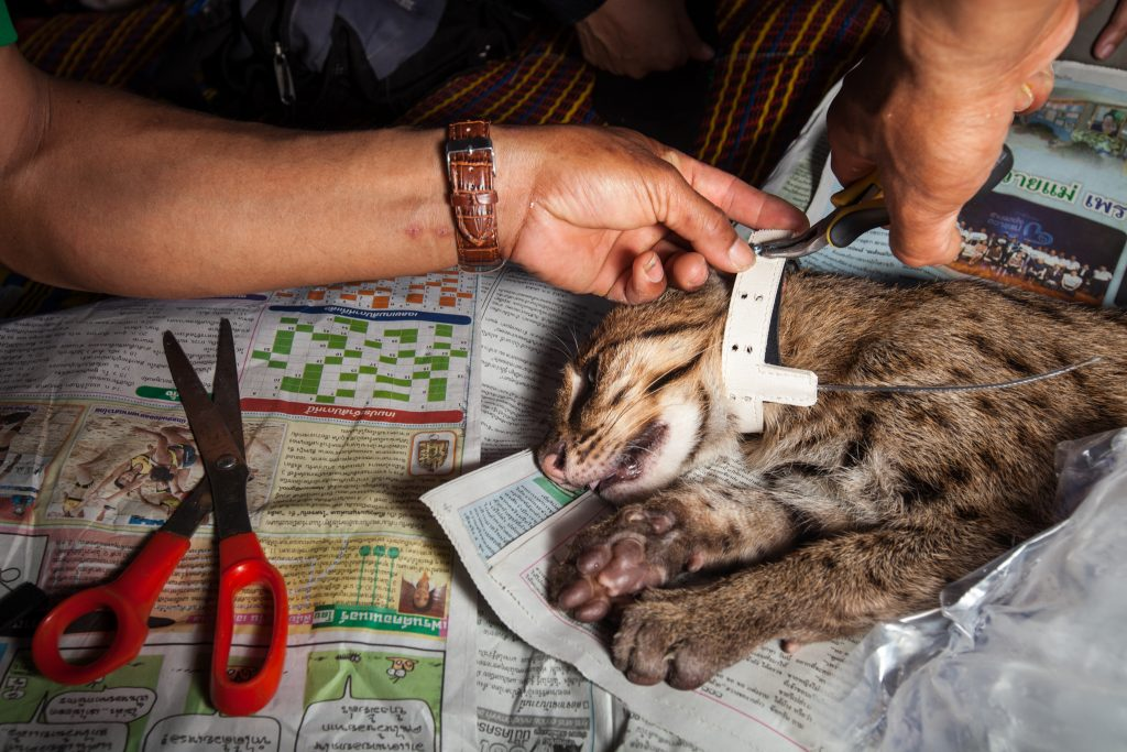 On a bed of the latest headlines, Ruj, a research assistant on fthe Fishing Cat Research and Conservation Project, affixes a radio collar to a young male fishing cat. If the collar stays on, the cat will reveal invaluable data on the movement of a species that has rarely been recorded.