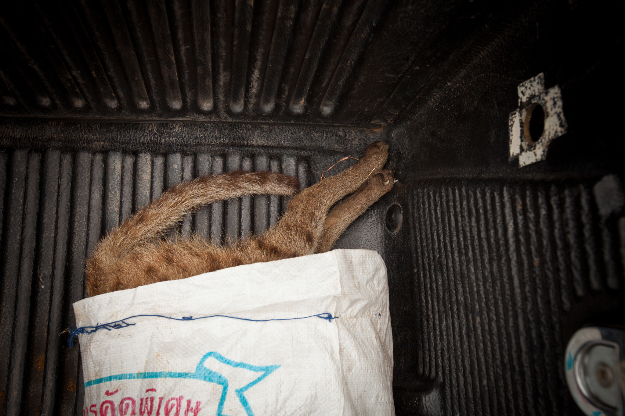 An old rice sack serves as a body bag for a dead fishing cat found by the side of the road near Khao Sam Roi Yot National Park. The cat is on its way to a necropsy to find out how it died. A subsequent examination revealed the cat had been shot.