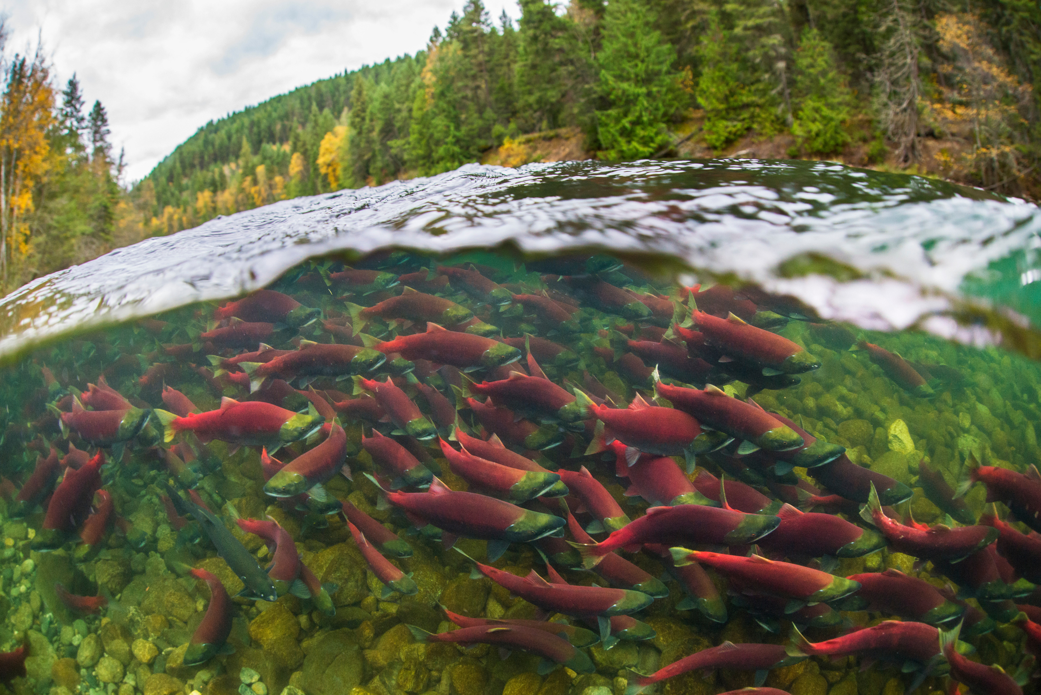 Adult sockeye salmon make their way up the Fraisier River in British Columbia. Photo by Tavish Campbell