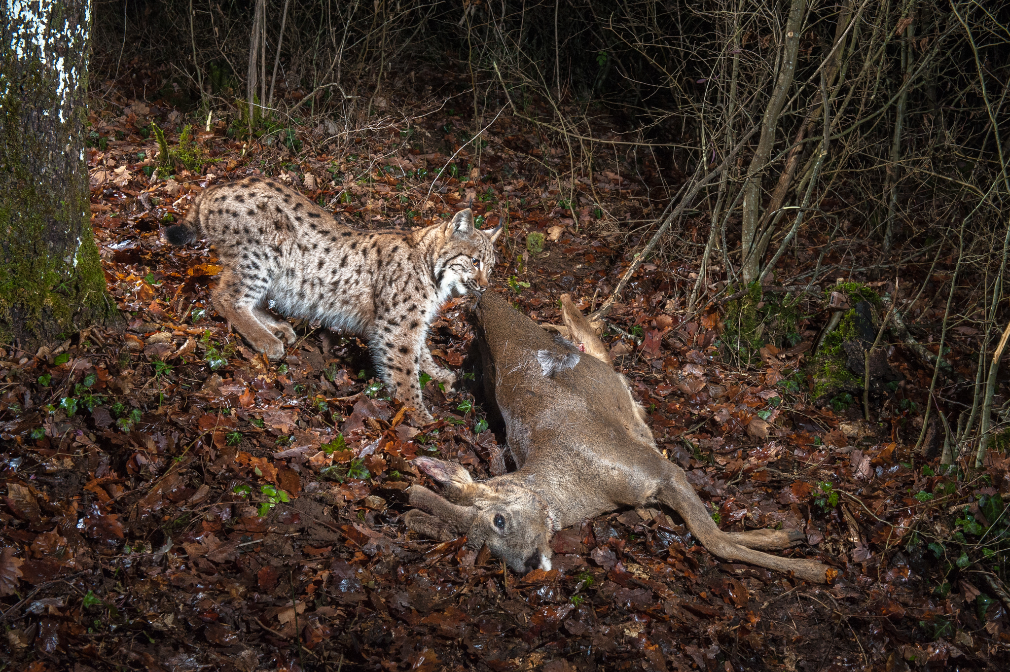 "An adult Eurasian lynx, known to biologists as ""Aisha,"" pulls its roe deer kill toward a safe hiding place."