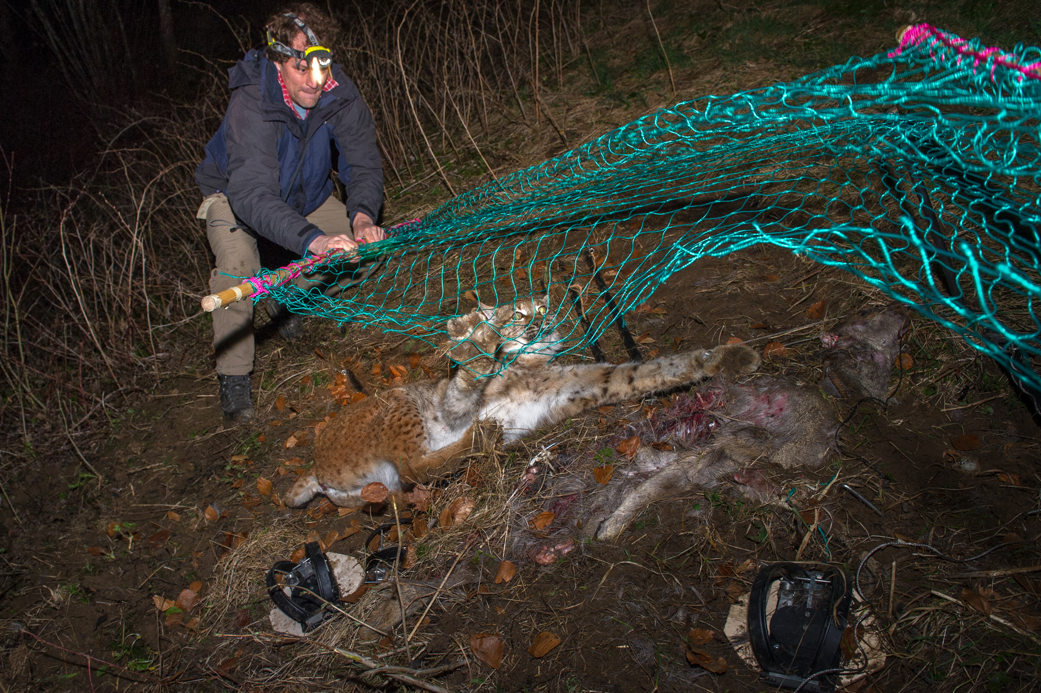 KORA biologist Fridolin Zimmerman subdues an adult female Eurasian lynx in preparation for the animal's relocation to Kalkalpen National Park, Austria.