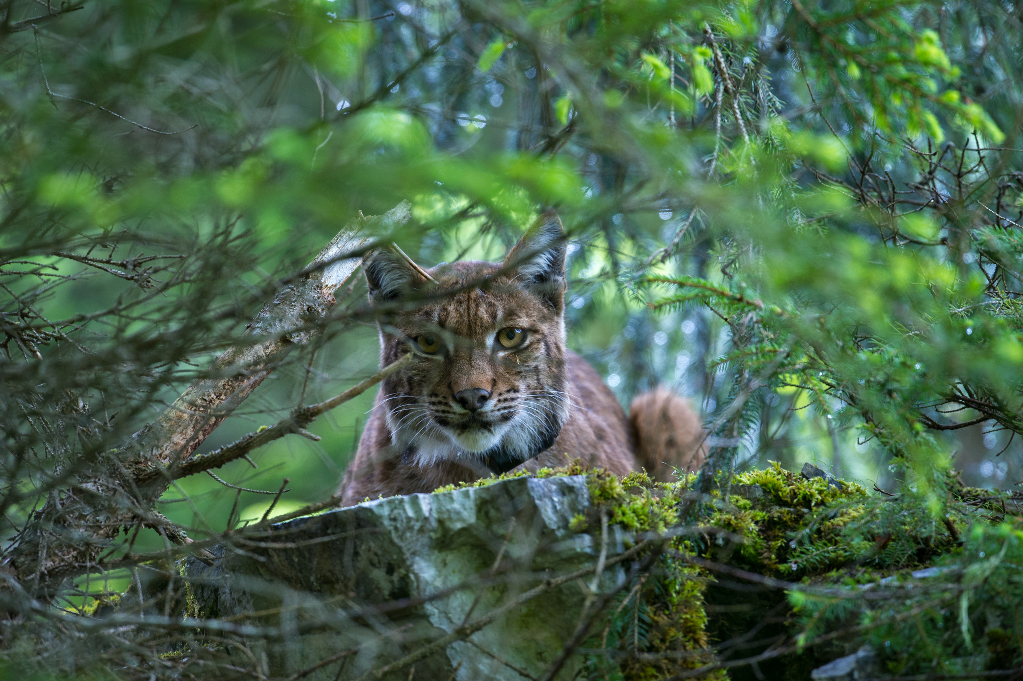 An anxious female Eurasian lynx (Lynx lynx) looks on as biologists tag her three-week-old cub.