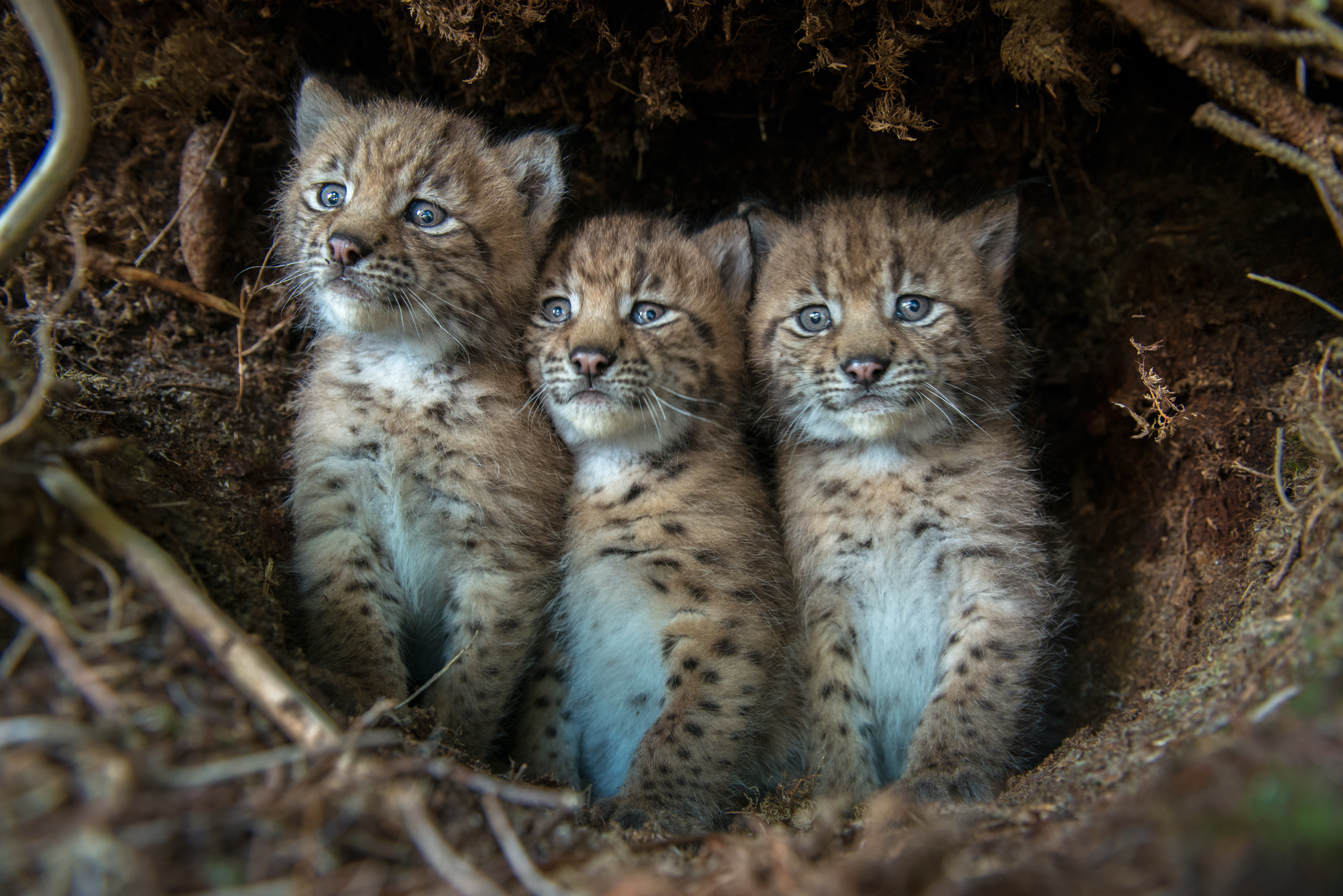 Three bewildered Eurasian lynx (Lynx lynx) cubs peer out from their den after being discovered by KORA conservation biologists.