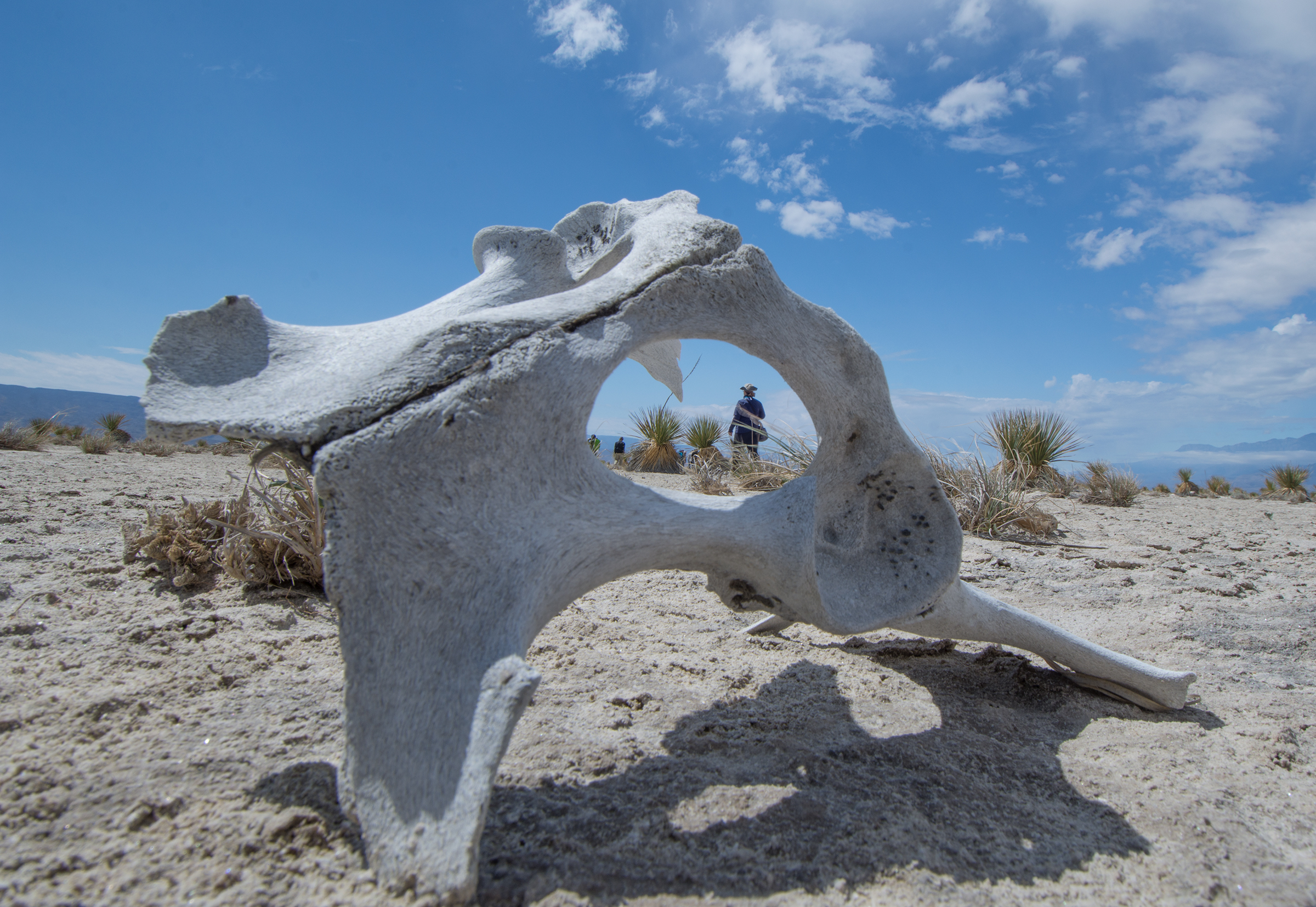 A researcher is seen through the bleached bones of a large mammal.
