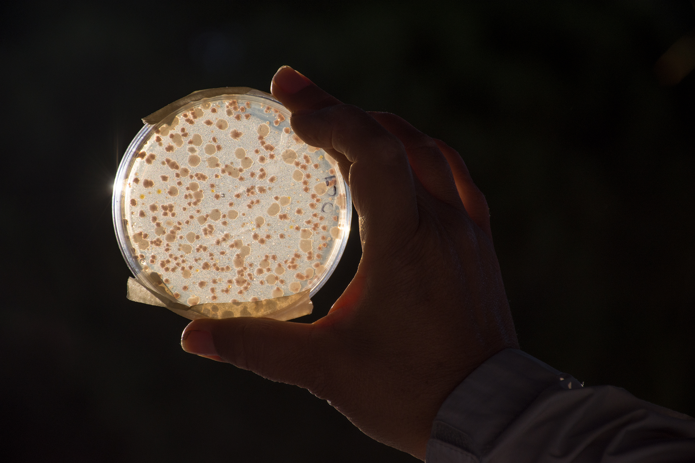 A researcher holds up an agar plate displaying some of the vast microbial diversity found in a single drop of water from the Cuatro Ciénegas basin.