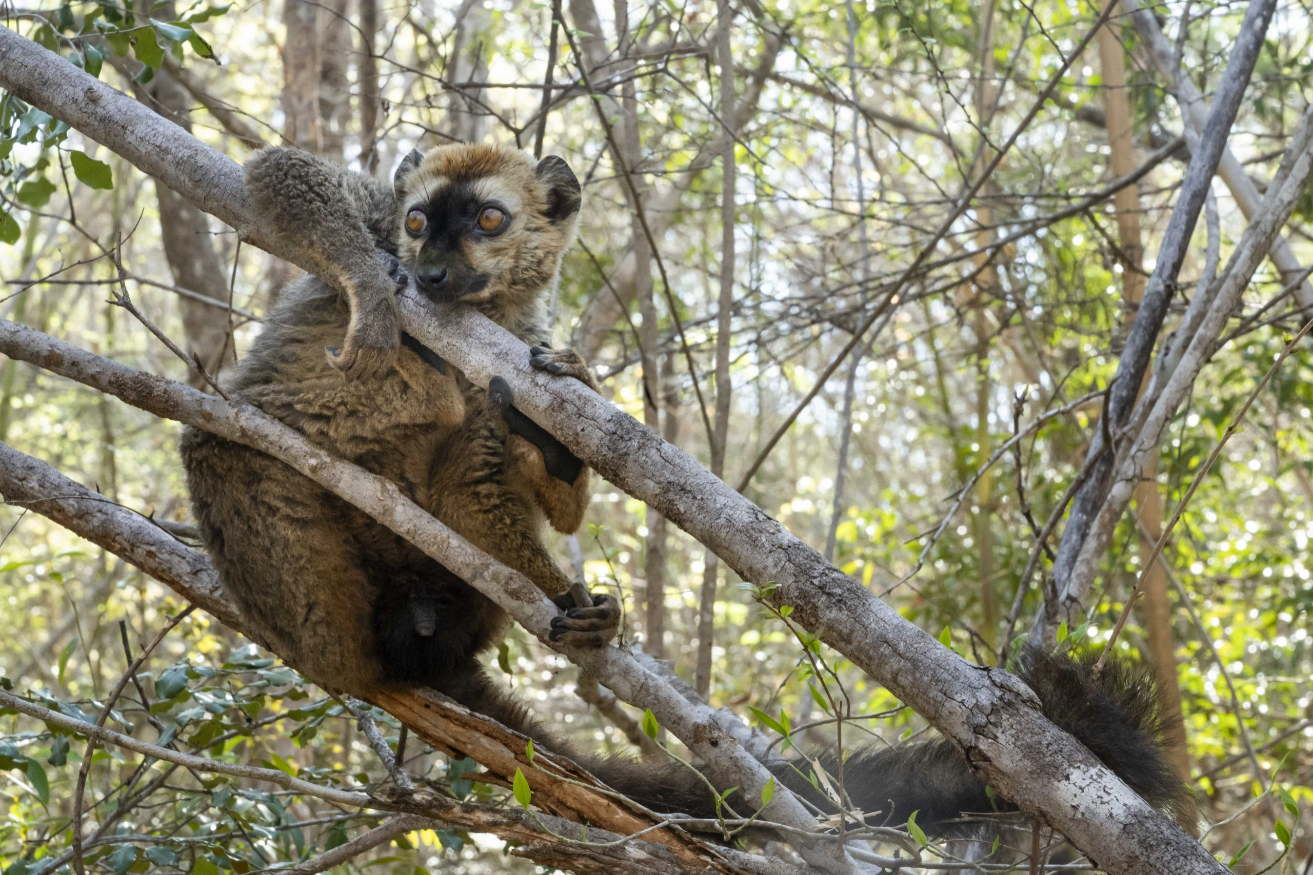A red-fronted lemur, also known as the red-fronted brown lemur, in Kirindy Forest. Like all lemurs, red-fronted lemurs are endemic to Madagascar.