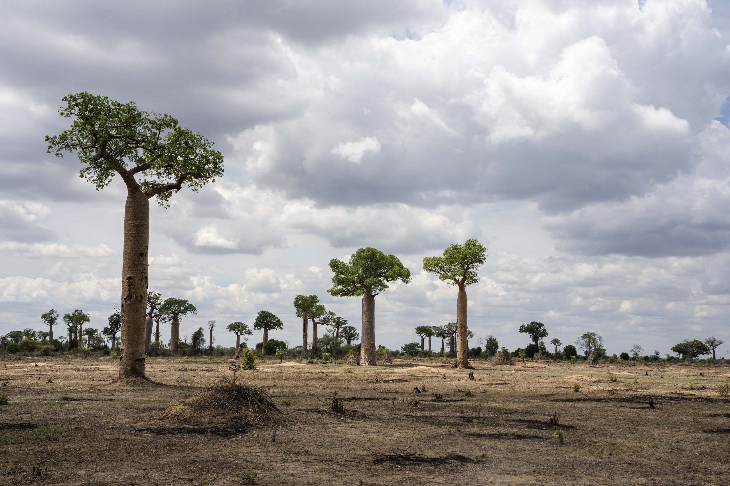 Only fire-resistant baobabs remain standing on the slashed-and-burned landscape within the Menabe Antimena Protected Area, which has been devastated by such practices in recent years.