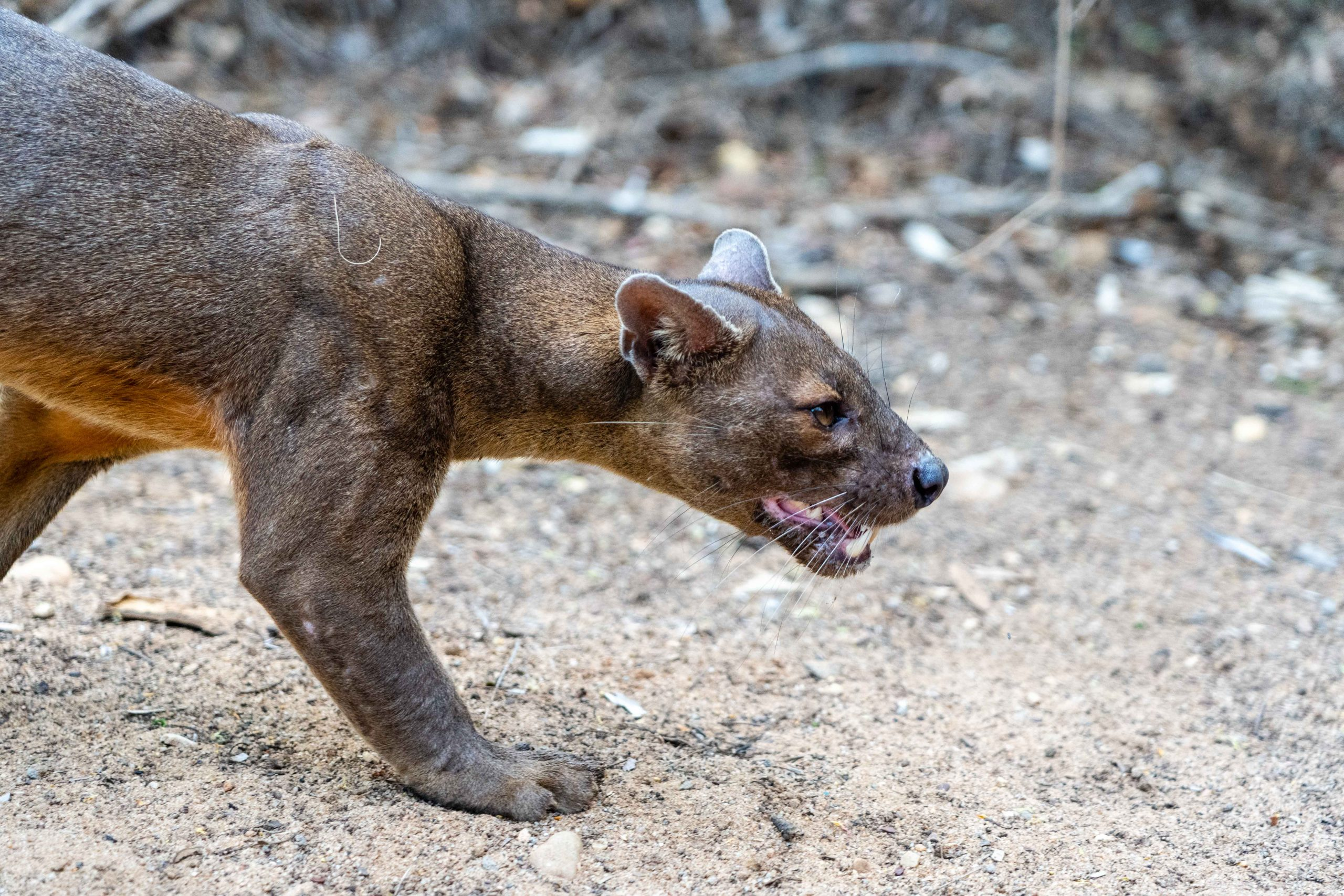 A close relative of the mongoose, the cat-like fossa is a carnivorous mammal unique to the forests of Madagascar.