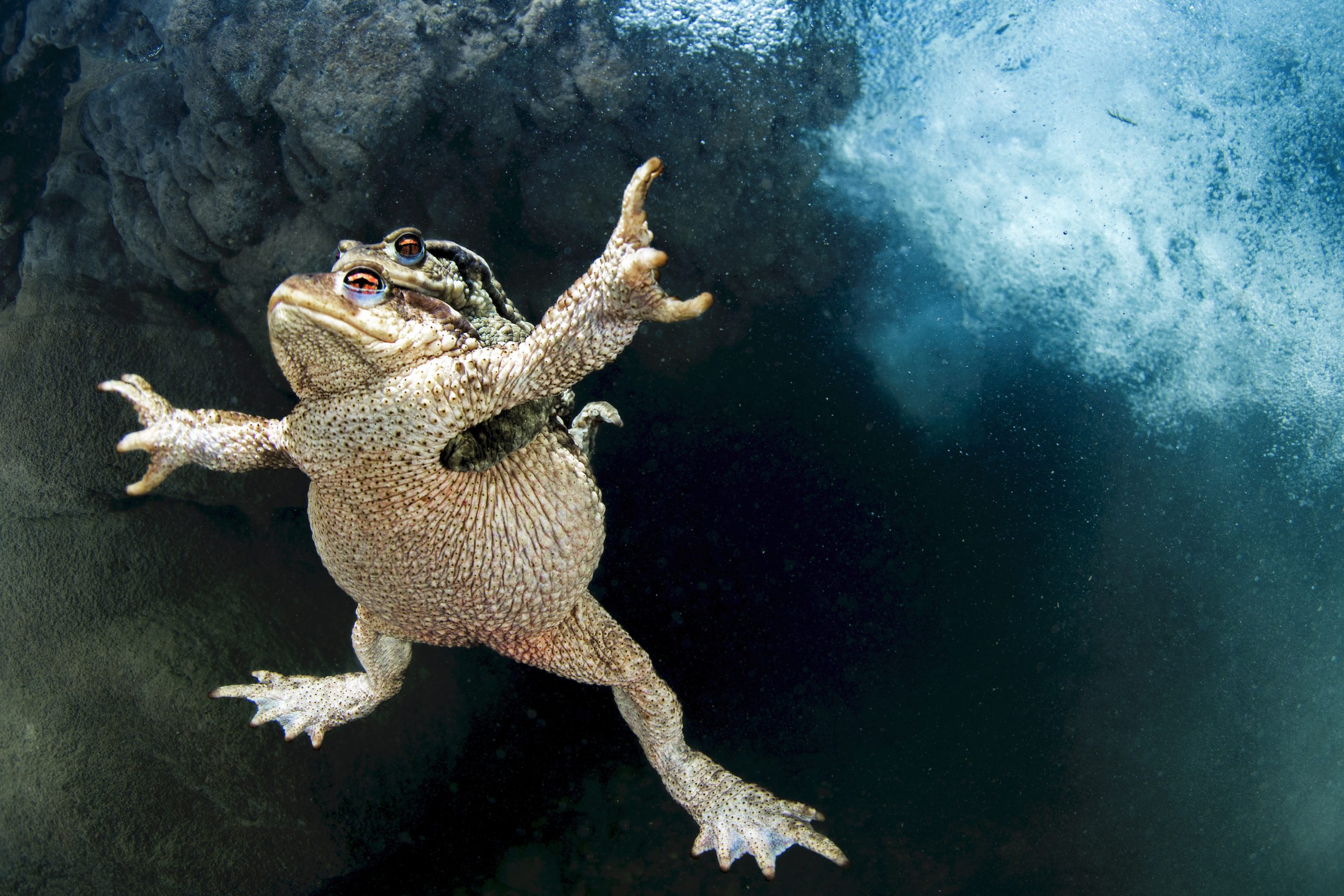 Common toads mating in the Lez River, France