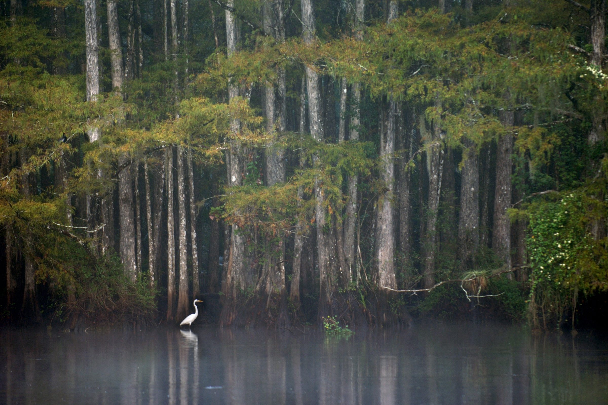 A great egret forages in the shallows of the Telegraph Cypress Swamp on Babcock Ranch, a large state preserve near Fort Myers where ranching, forestry, and farming help pay for land management.
