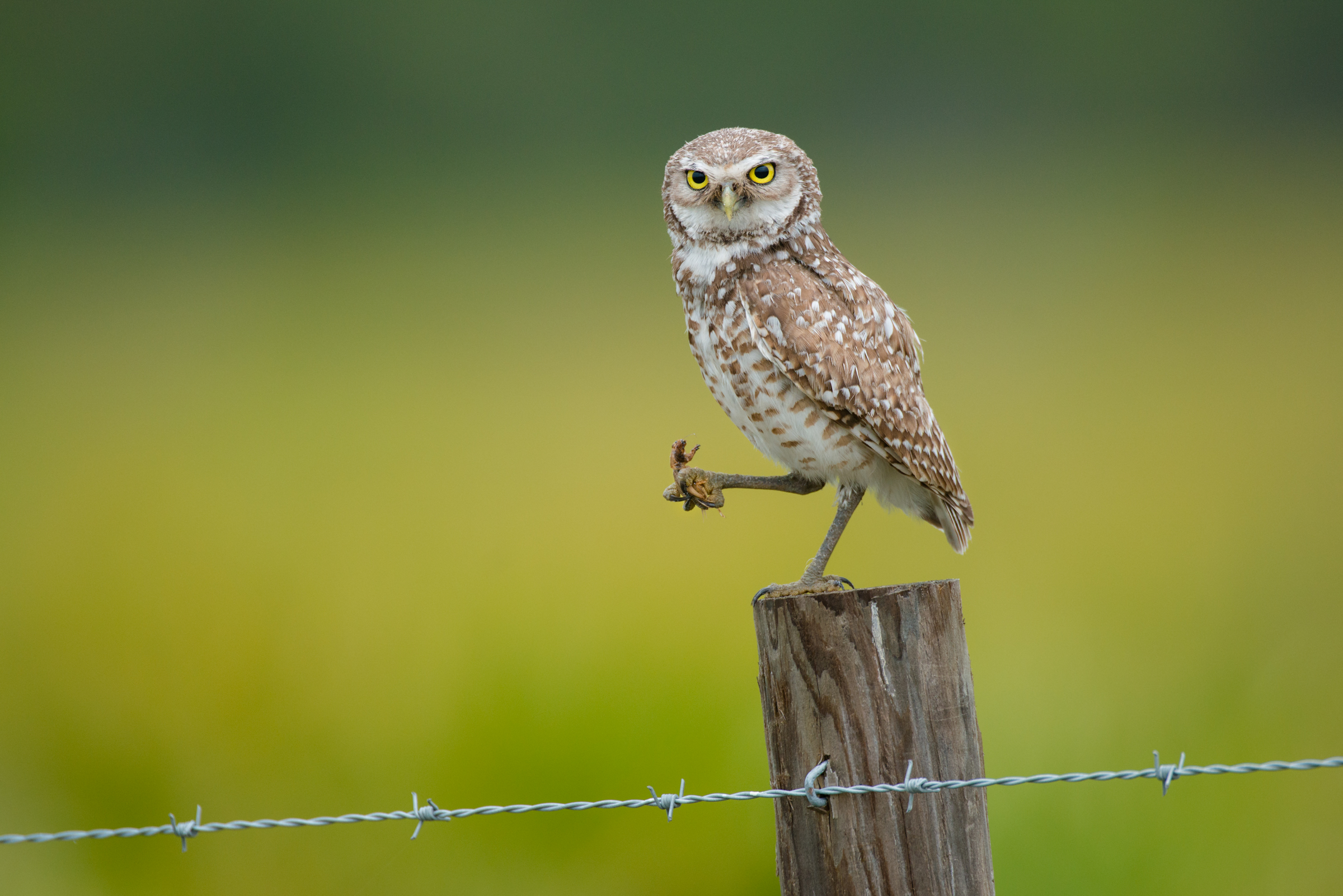 A burrowing owl holds a mole cricket that it caught on Camp Lonesome Ranch in Florida's Osceola County. Studies have shown that ranches support as much bird life as adjacent public conservation lands.