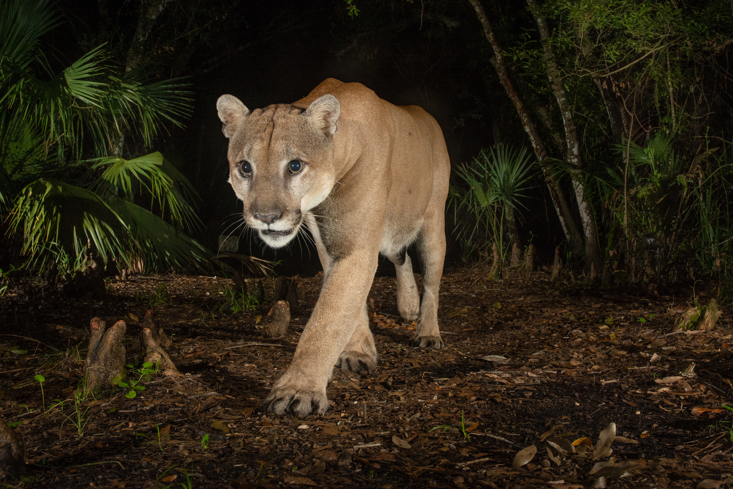 A male Florida panther triggers a camera trap at Babcock Ranch, which is the site of the first female panther documented north of the Southern Everglades since 1973. Continued northward recovery of the endangered Florida panther depends largely on the conservation of ranches throughout Peace River Valley, Northern Everglades, and beyond.