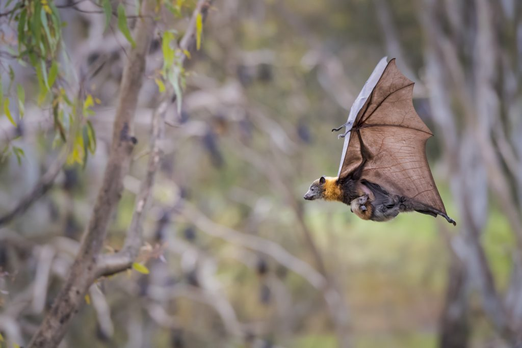A grey-headed flying fox carries her pup as she flies over Yarra Bend Park, Kew, Victoria, Australia.