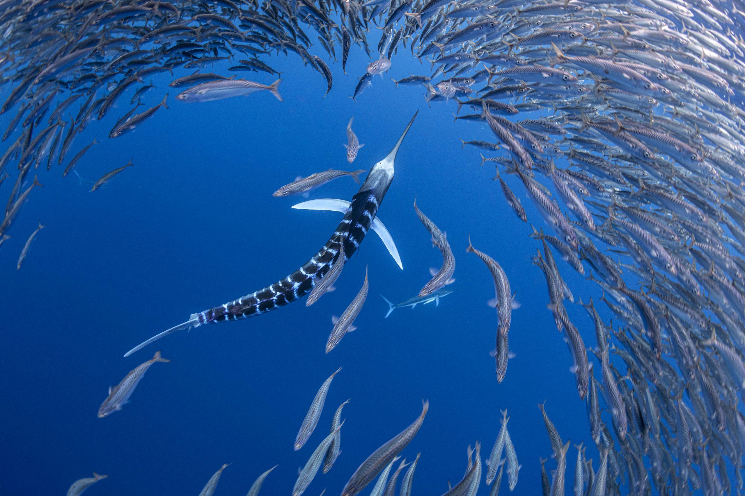 A striped marlin pursues baitfish off the coast of Baja California Sur.
