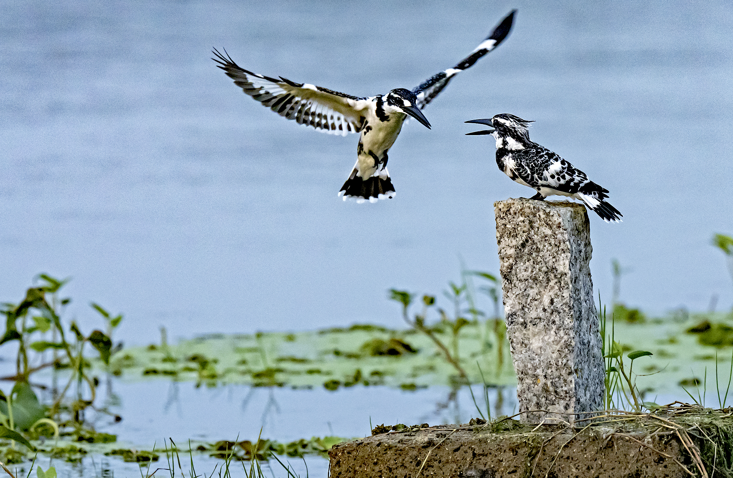 An adult pied kingfisher prepares to land next to its nearly fully grown offspring.