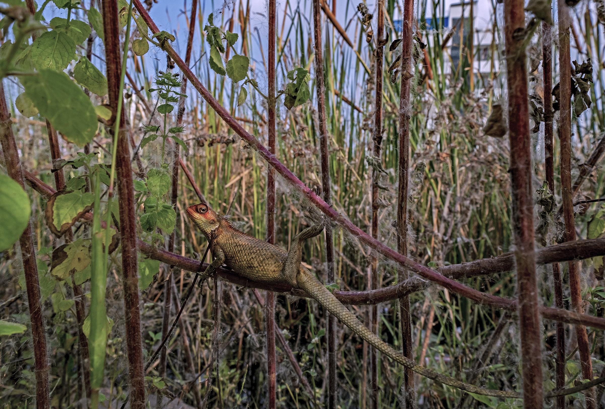 An Oriental garden lizard hunkers down in the vegetation at the edge of Pallikaranai Marsh.