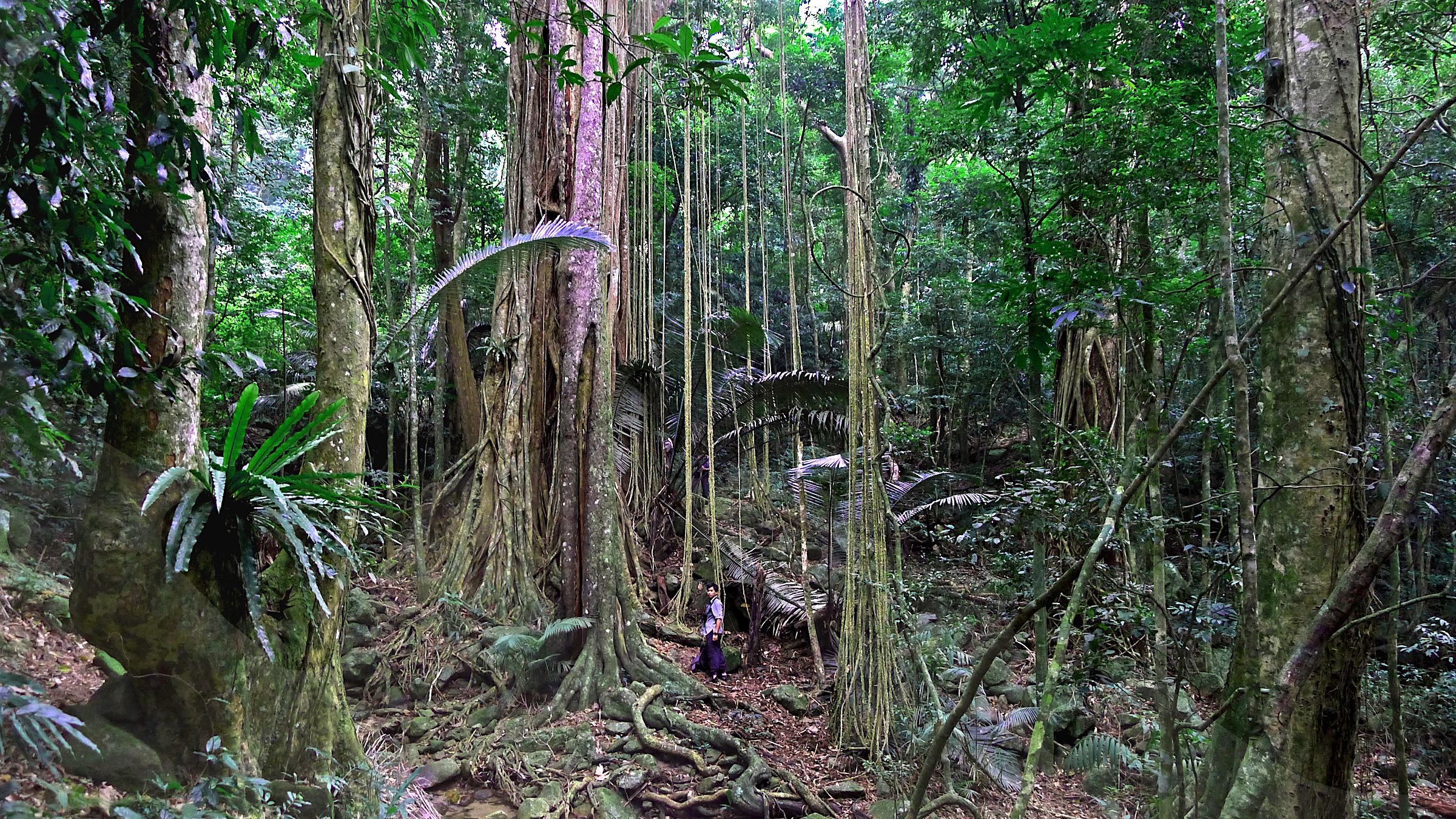 Biologist Bosco Chan stands in an old-growth section of forest in the Hainan Bawangling National Nature Reserve. Photograph courtesy of Kadoorie Farm & Botanic Garden