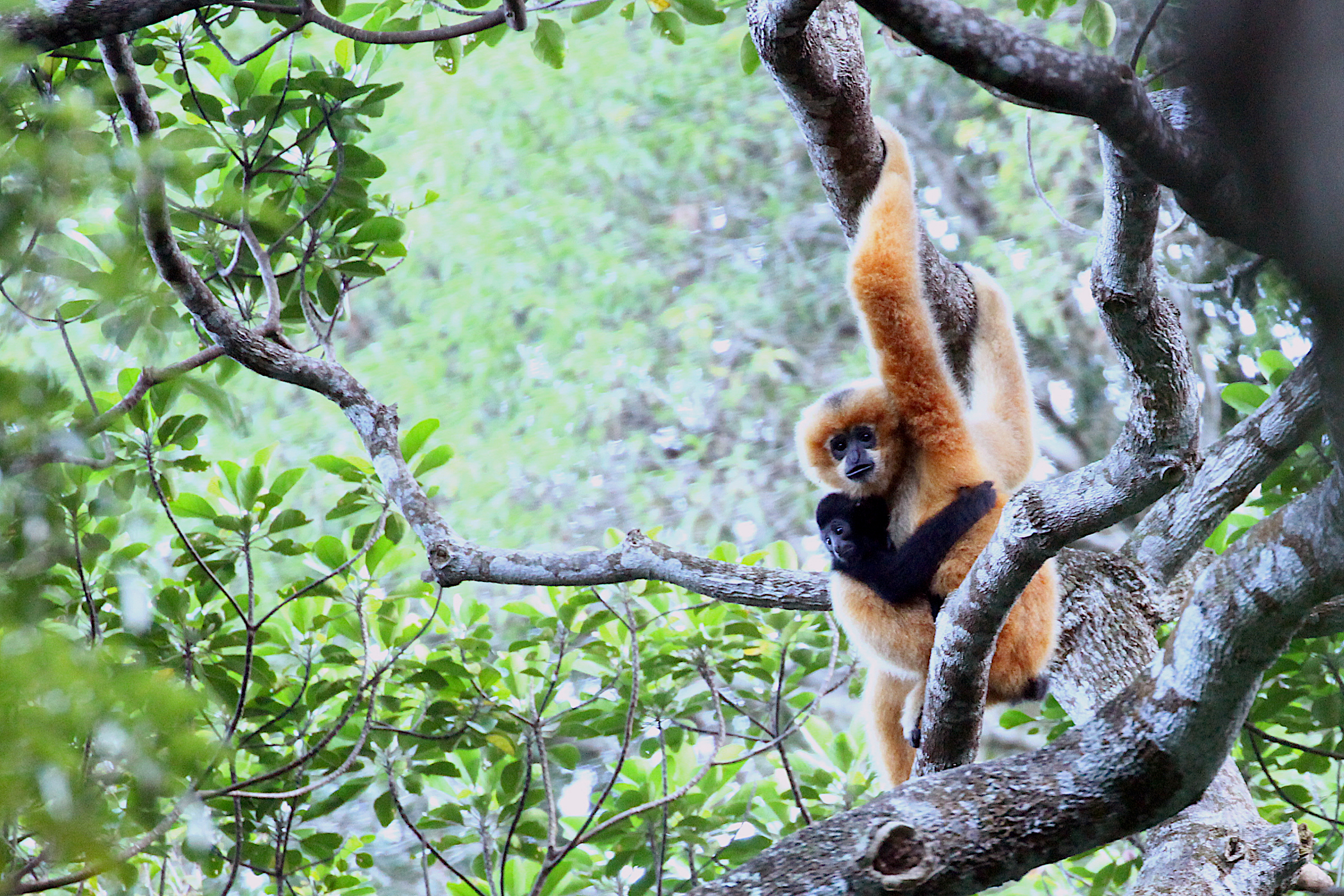 A young Hainan gibbon clings to its mother in the forest of the Bawangling National Nature Reserve in South China's Hainan Province. When born, both male and female gibbons have lighter fur which turns black after about a year. When females reach maturity, their fur turns to gold. Photograph courtesy of Kadoorie Farm & Botanic Garden