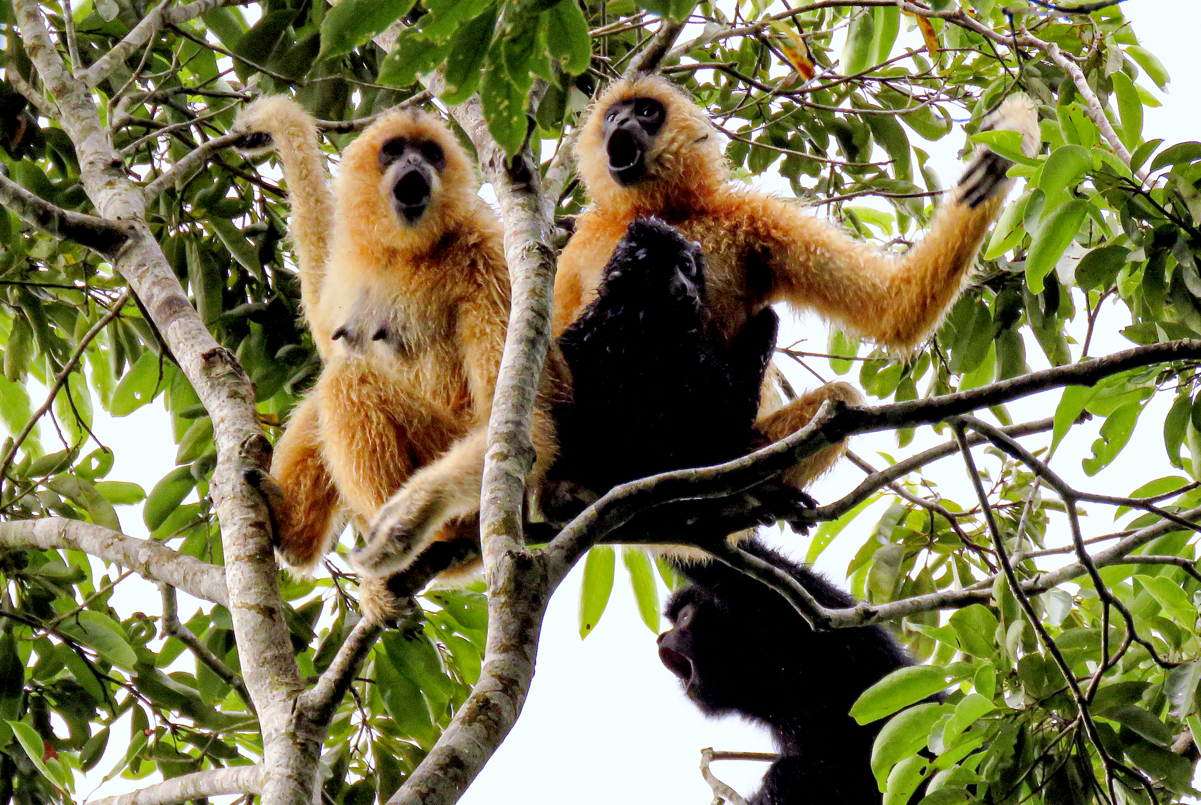 A group of Hainan gibbons sing in the forest of Bawangling National Nature Reserve. The Hainan gibbon's song is one of the key ways scientists differentiate it from other gibbon species. Photograph courtesy of Kadoorie Farm & Botanic Garden