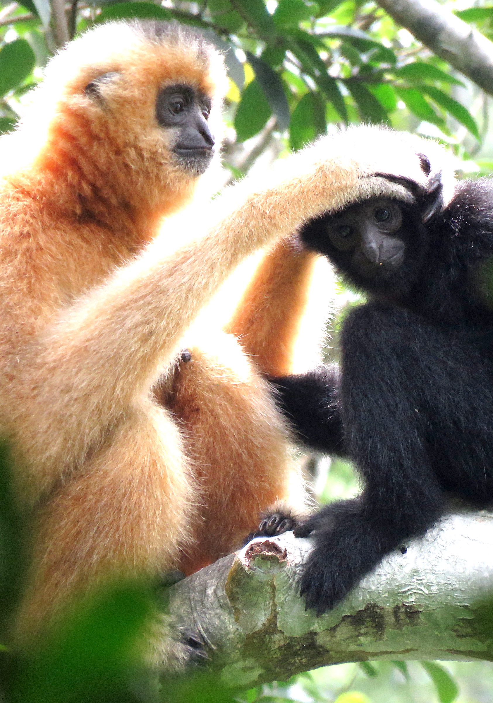 An adult female Hainan gibbon grooms a member of its troop in the forest of the Bawangling National Nature Reserve in Hainan Province. Photograph courtesy of Kadoorie Farm & Botanic Garden