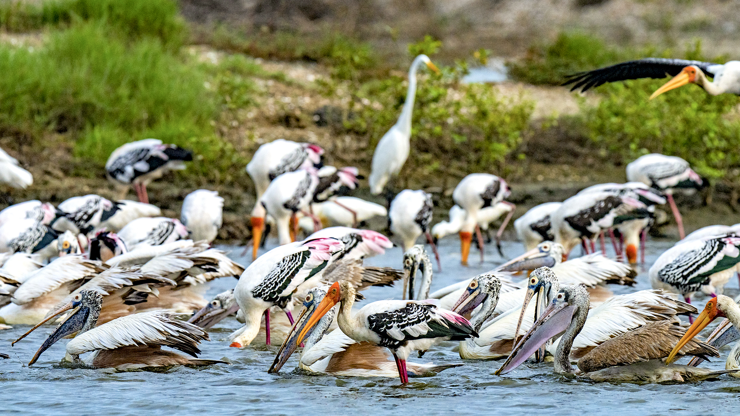 Painted storks, spot-billed pelicans, and egrets forage at the edge of the Pallikaranai Marsh.