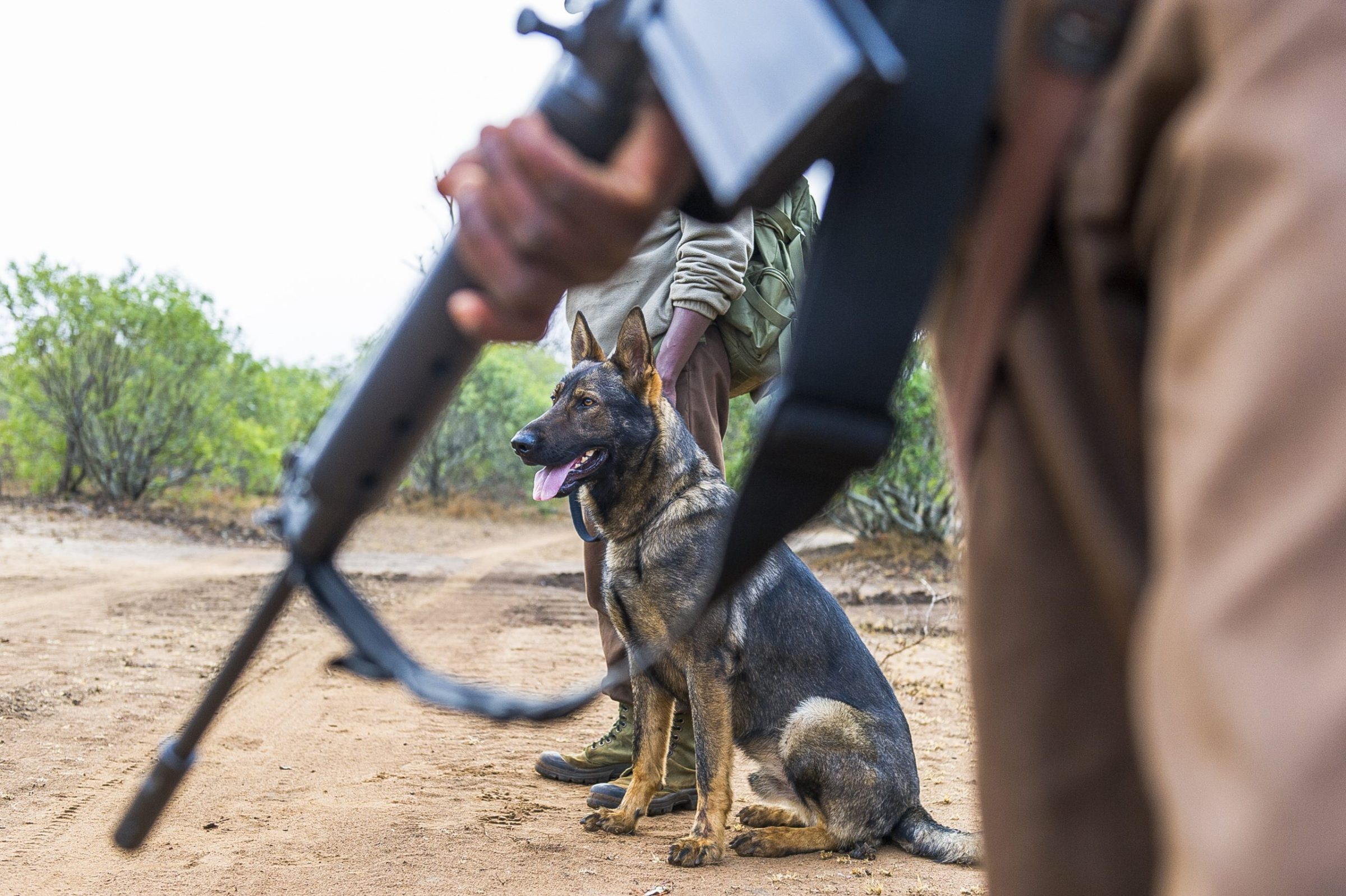 Anti-poaching patrols use dogs to find and capture poachers.