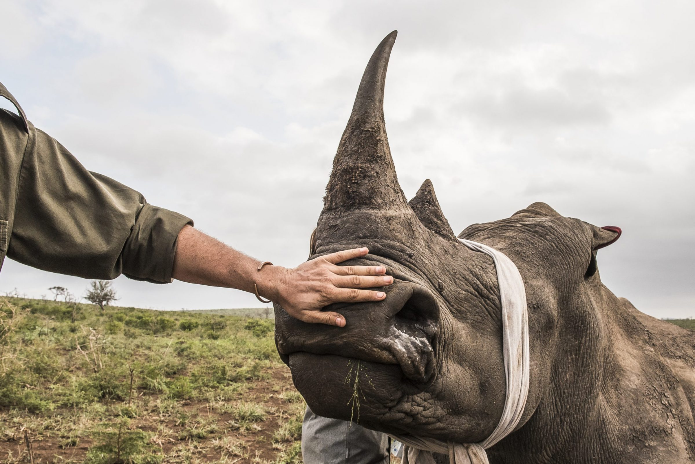 Biologists prepare to dehorn a white rhino, a practice aimed at preventing poaching.