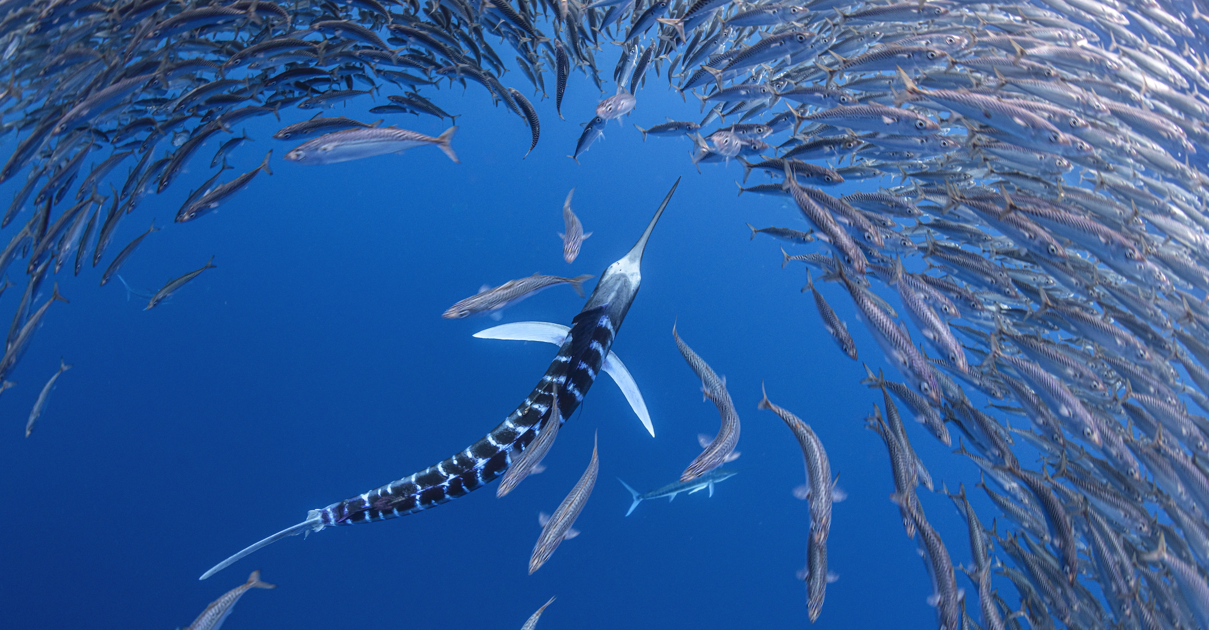 A striped marlin pursues baitfish off the coast of Baja California Sur.