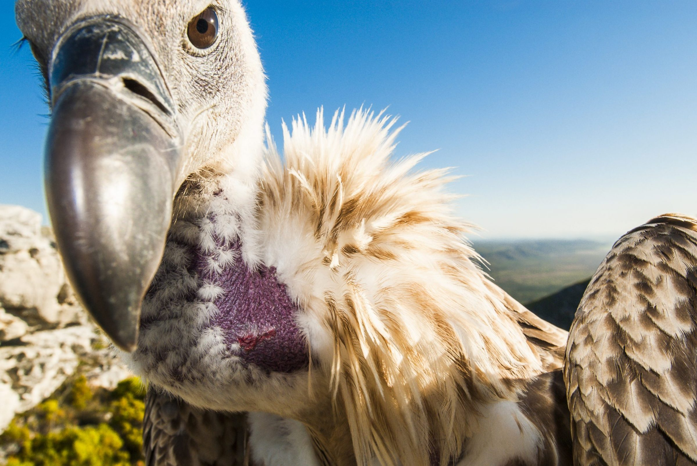 A cape vulture peers into a remotely operated camera.