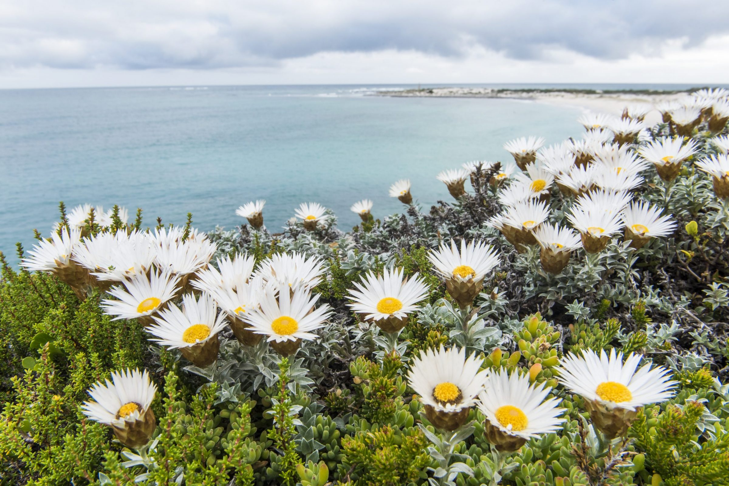 Sea strawflower blooms along the coast of South Africa.