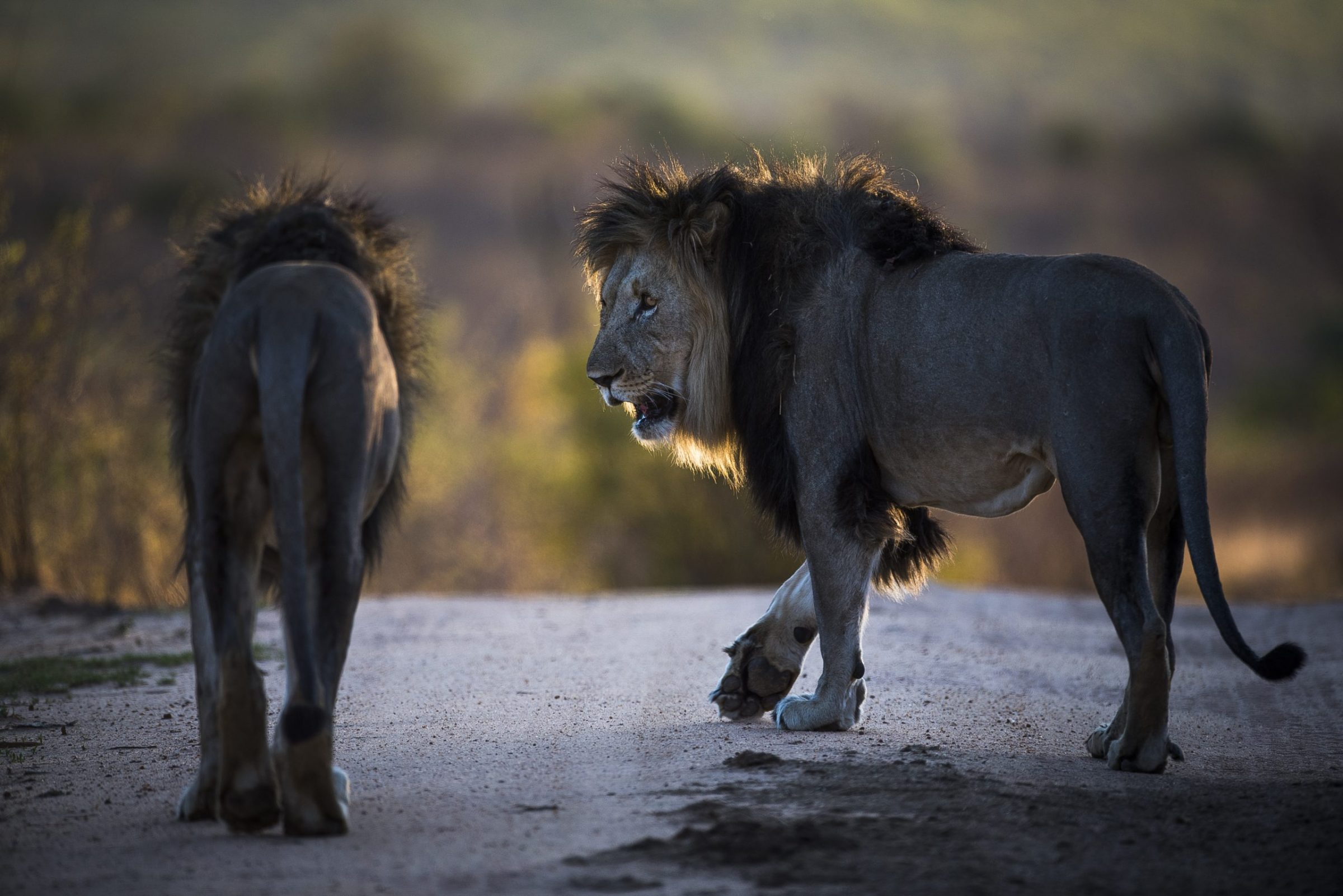 Lion populations in Africa have declined by 43 percent over the past two decades.