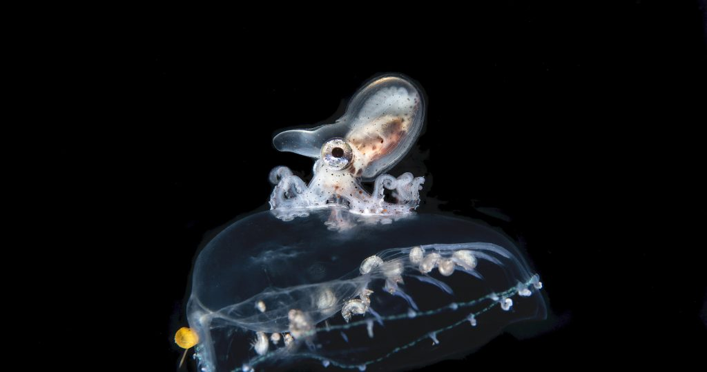 A brown paper nautilus rides atop a jellyfish in Balayan Bay, Luzon, the Philippines. The nautilus uses its jellyfish host as both a food source, and as a convenient and threatening vehicle.