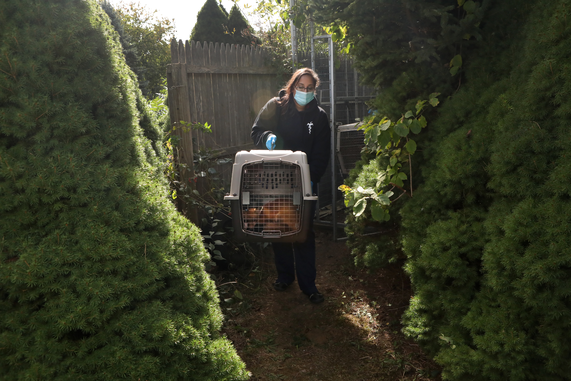 A rehabilitated red fox is taken to a conservation area to be released back into the wild.