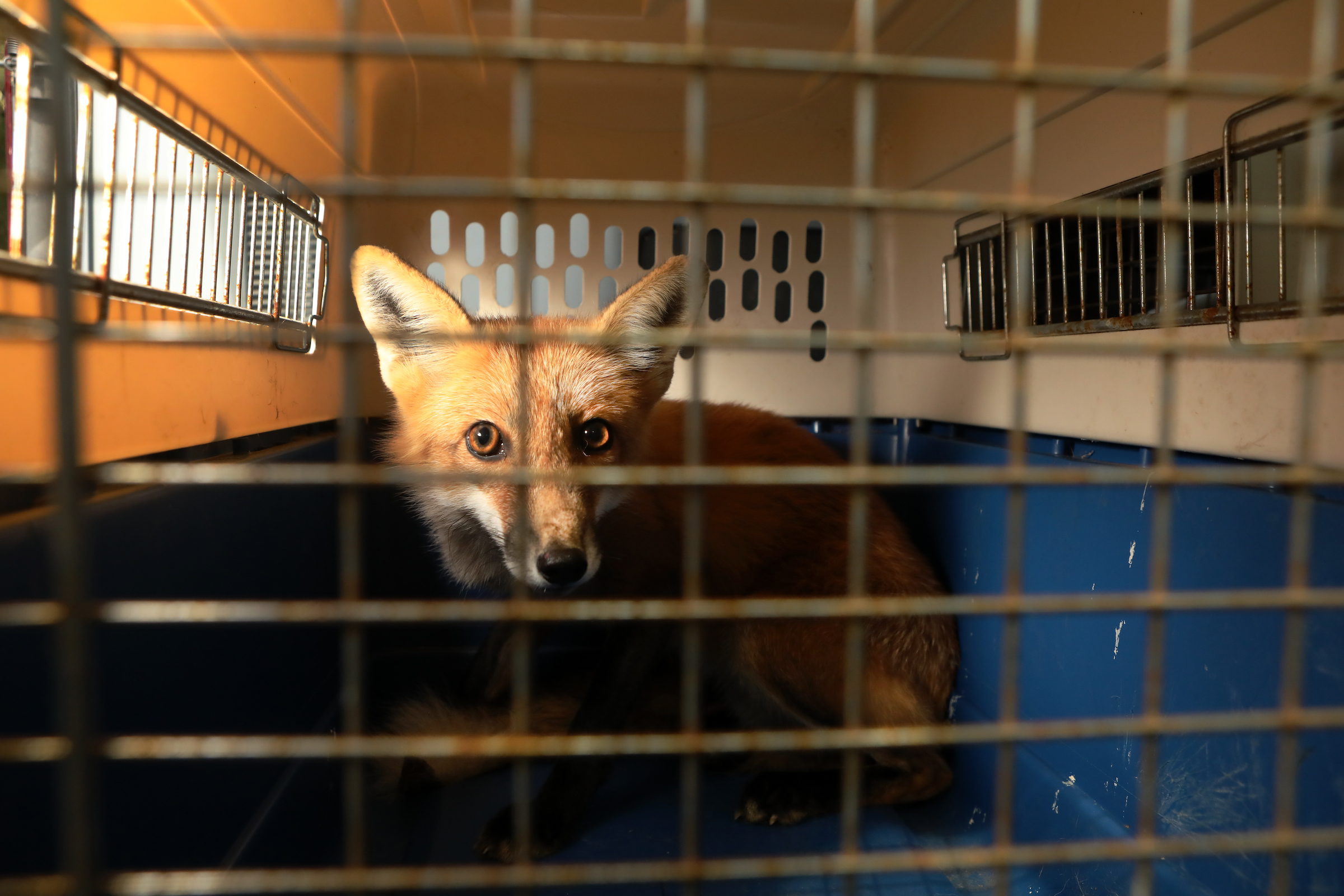 A red fox awaits release back into the wild.