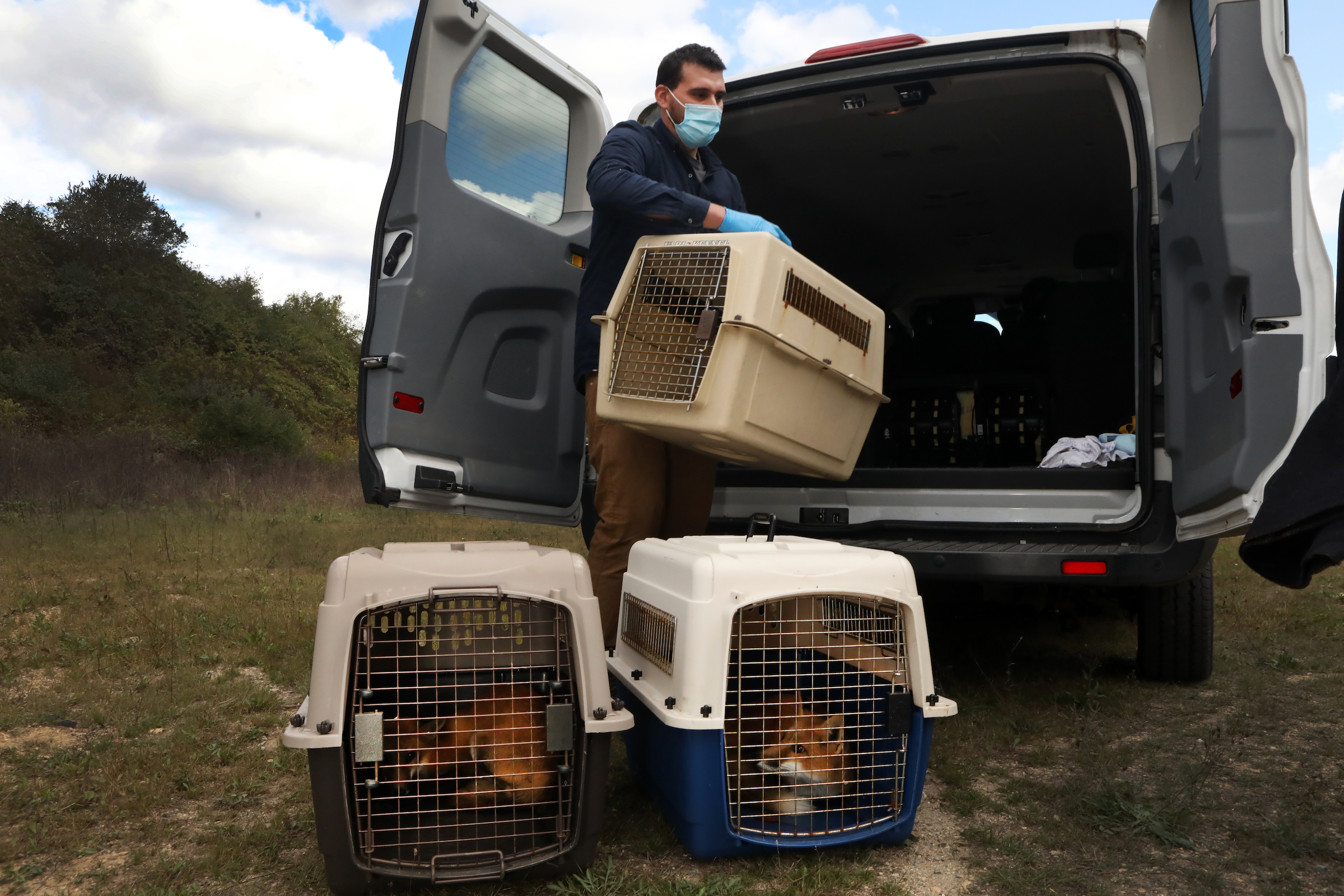Zak Mertz unloads crates carrying soon-to-be-released red foxes that have been rehabilitated by the New England Wildlife Rescue Center.