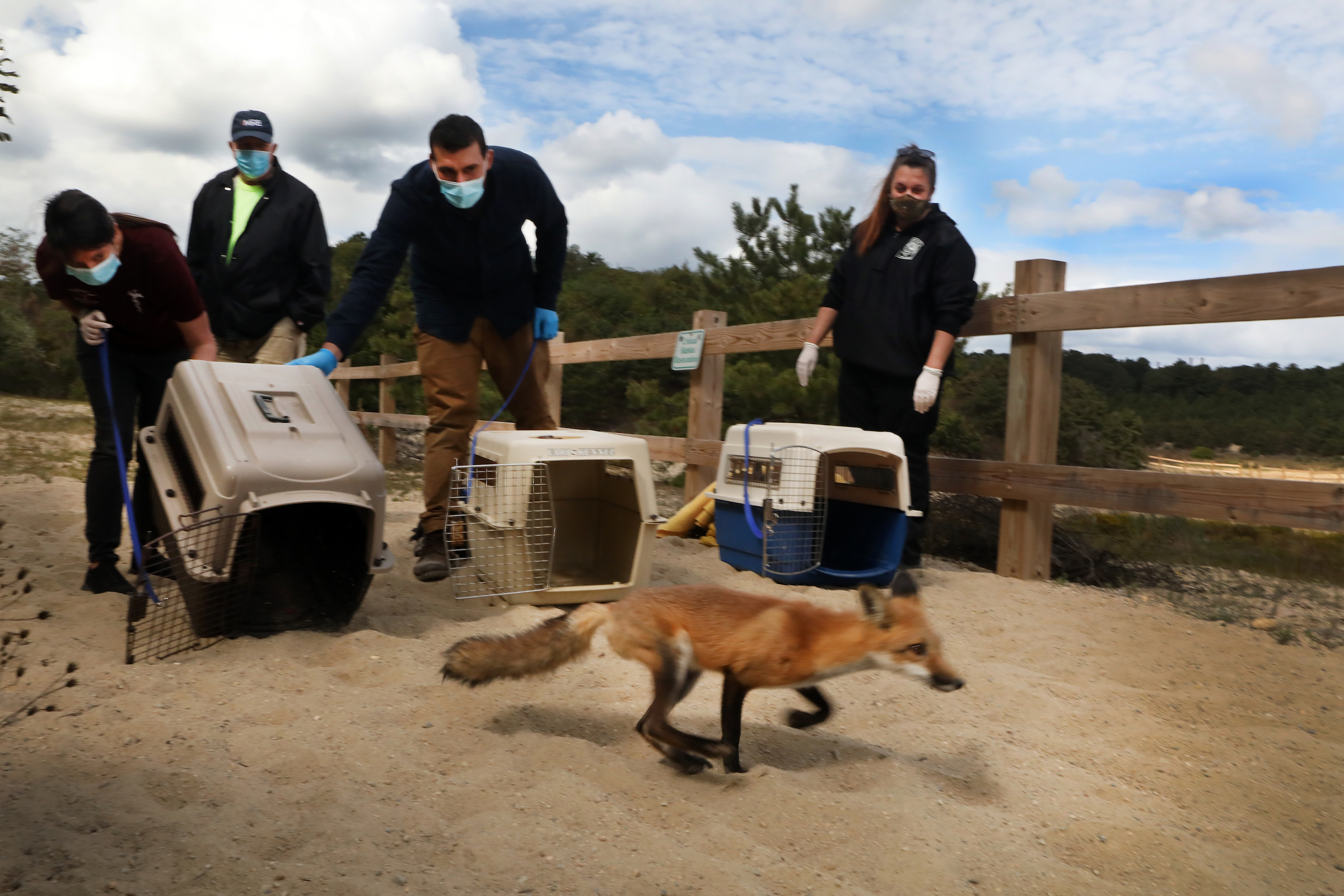 The last of three rehabilitated red foxes is released in the Breivogel Ponds Conservation Area of Falmouth, Massachusetts as wildlife rehabilitators and local officials look on.
