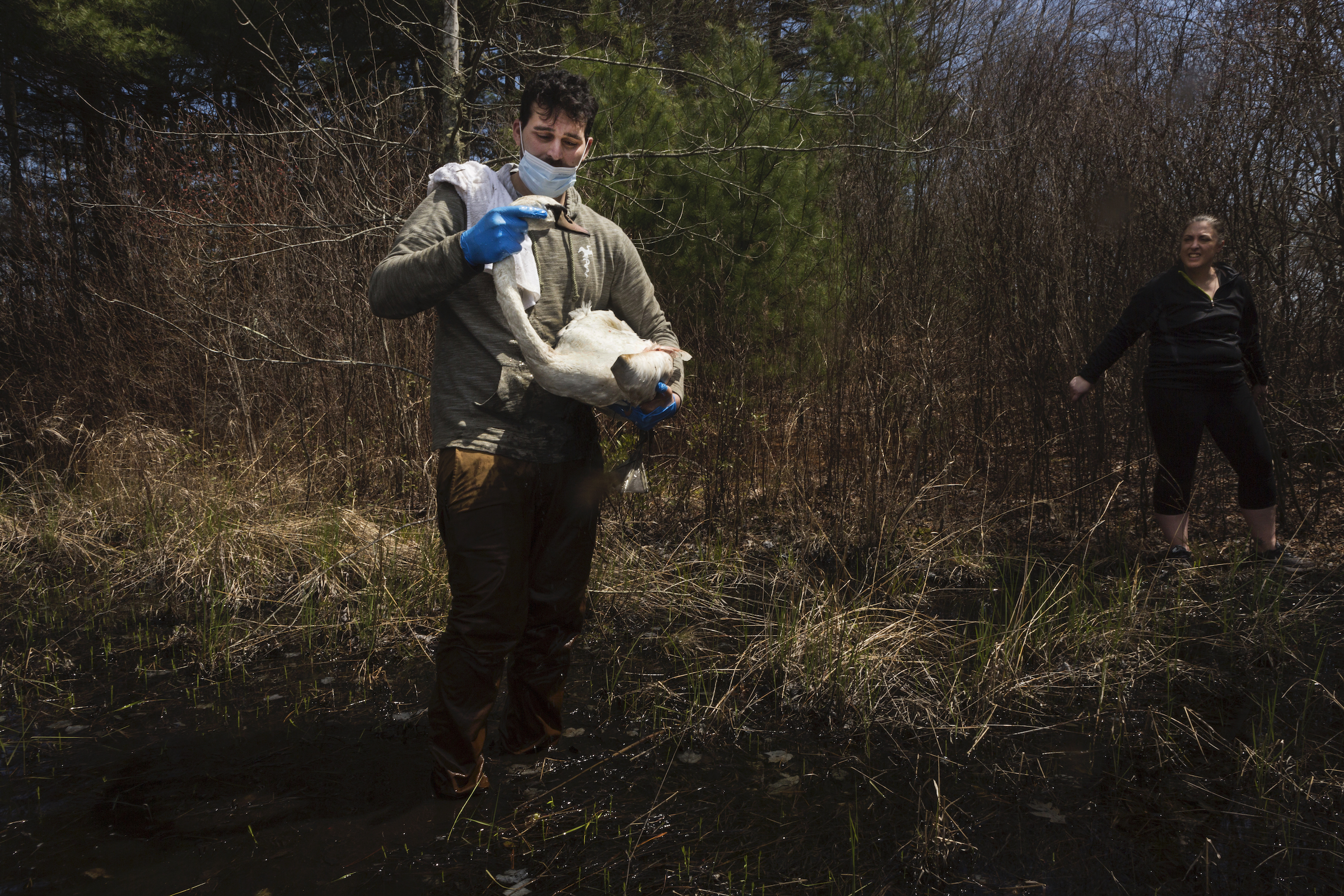 Zak Mertz, director of the Cape Cod branch of the New England Wildlife Rescue Center, holds an injured swan in a cranberry bog in Carver, Massachusetts as Amy Trudeau, who called in the rescue, looks on.
