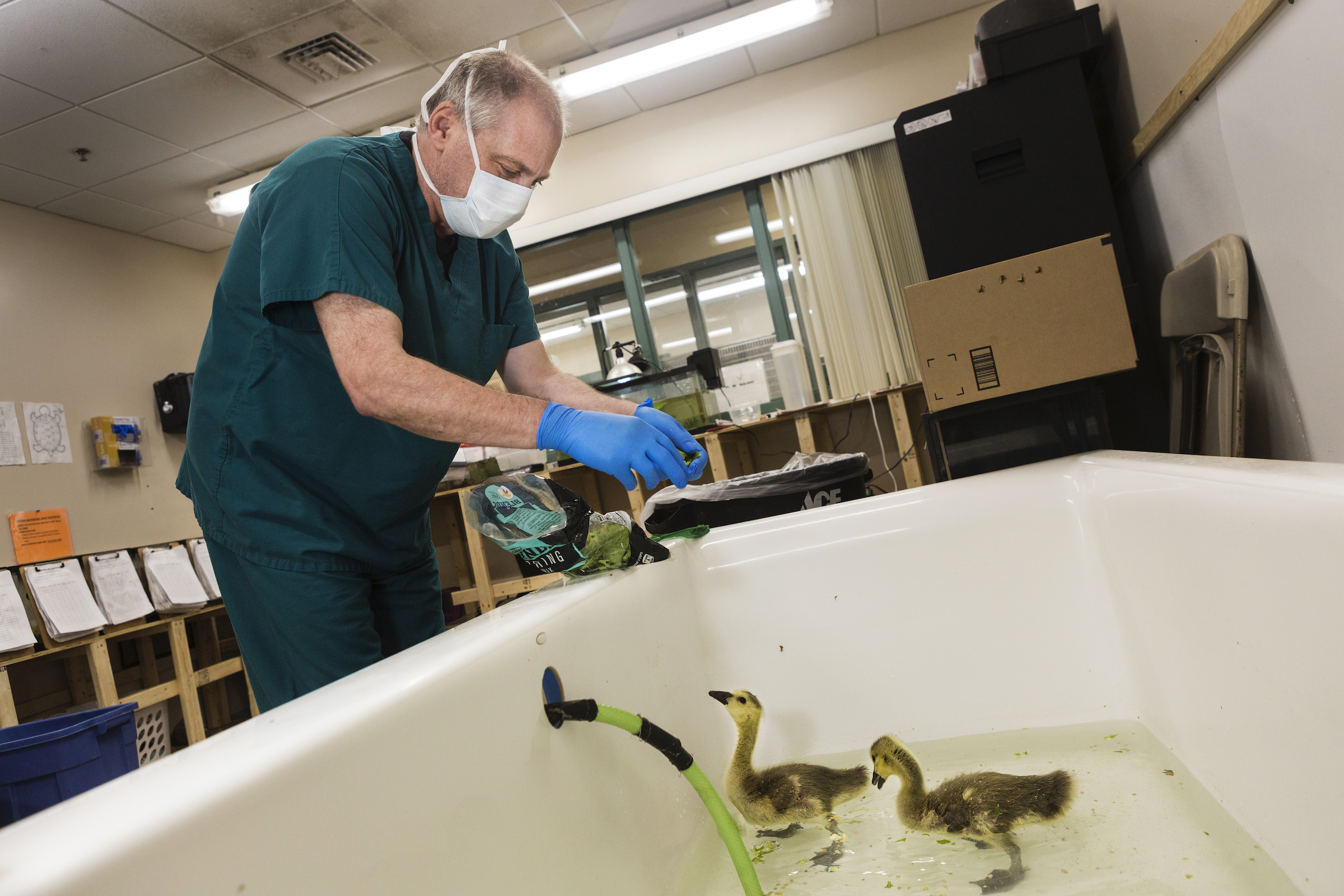 Veterinary technician Marco Venturoli feeds baby Canada geese as they take a swim in a bathtub.