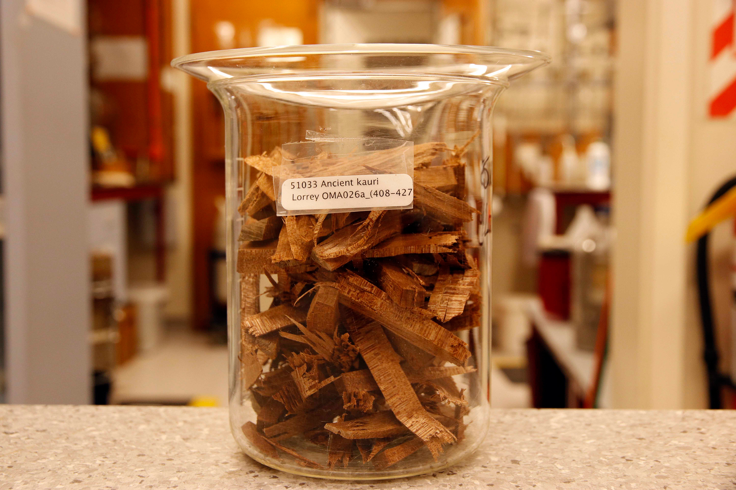 Chunks of kauri wood from one of Lorrey's biscuits form the starting point for the radiocarbon dating process. Photograph by Kate Evans.