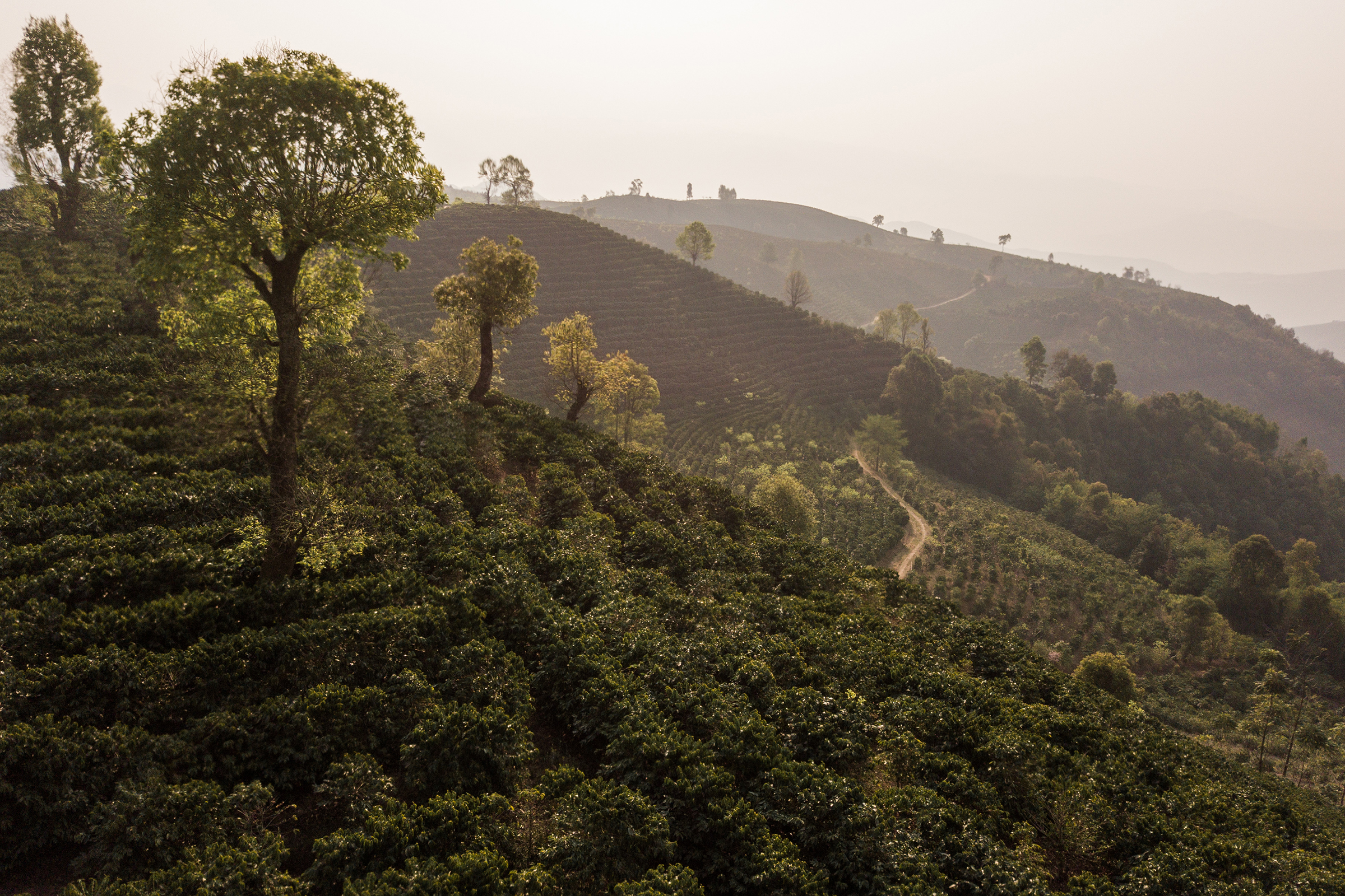 Much of what used to be prime forest habitat for gibbons has been transformed into coffee plantations.