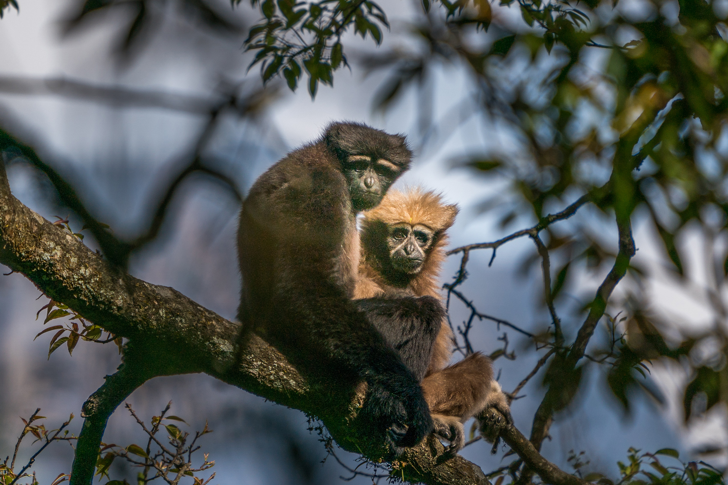 Two gibbons, which rangers have named Agong and Ama, sit together on a tree branch. Usually, it's Agong that finds himself grooming Ama.