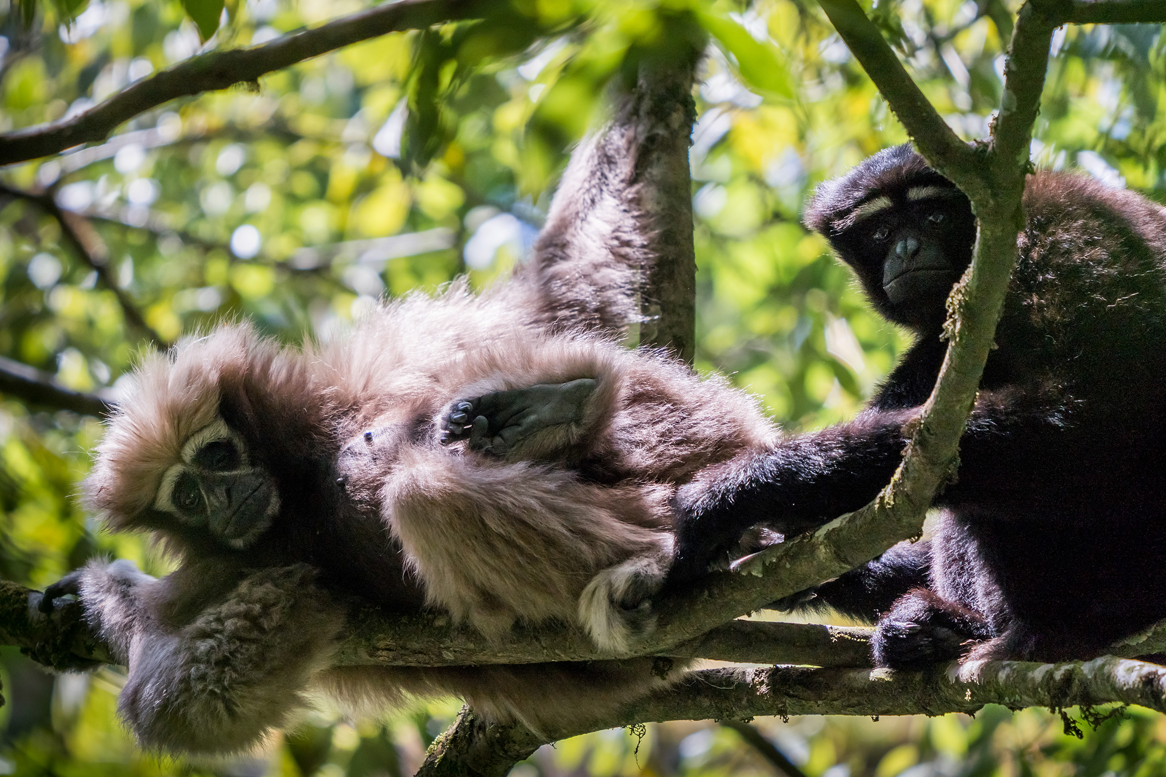 "The gibbons ""Ama"" (left) and ""Agong"" (right) rest in a tree during the afternoon. This elderly pair is beyond reproductive age and is the pair most frequently followed and studied in the Gaoligong. Their names mean grandmother and grandfather in Chinese."