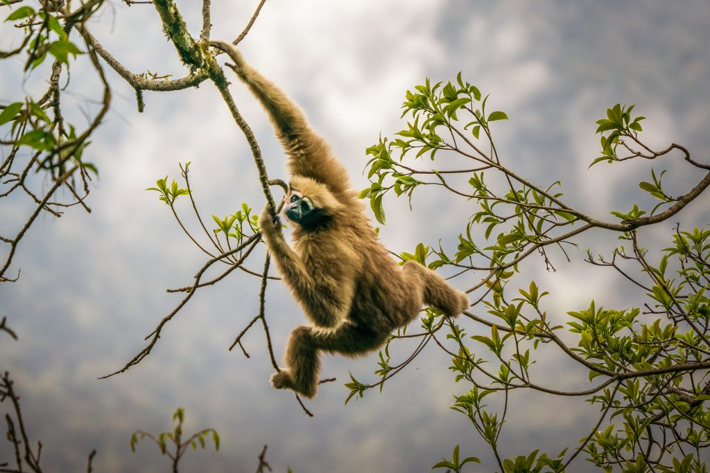 A gibbon that rangers have named Ama makes her way through the canopy. These daily and necessary movements become increasingly difficult when large trees are cut down to create sunny patches on the forest floor for crops like tsaoko.