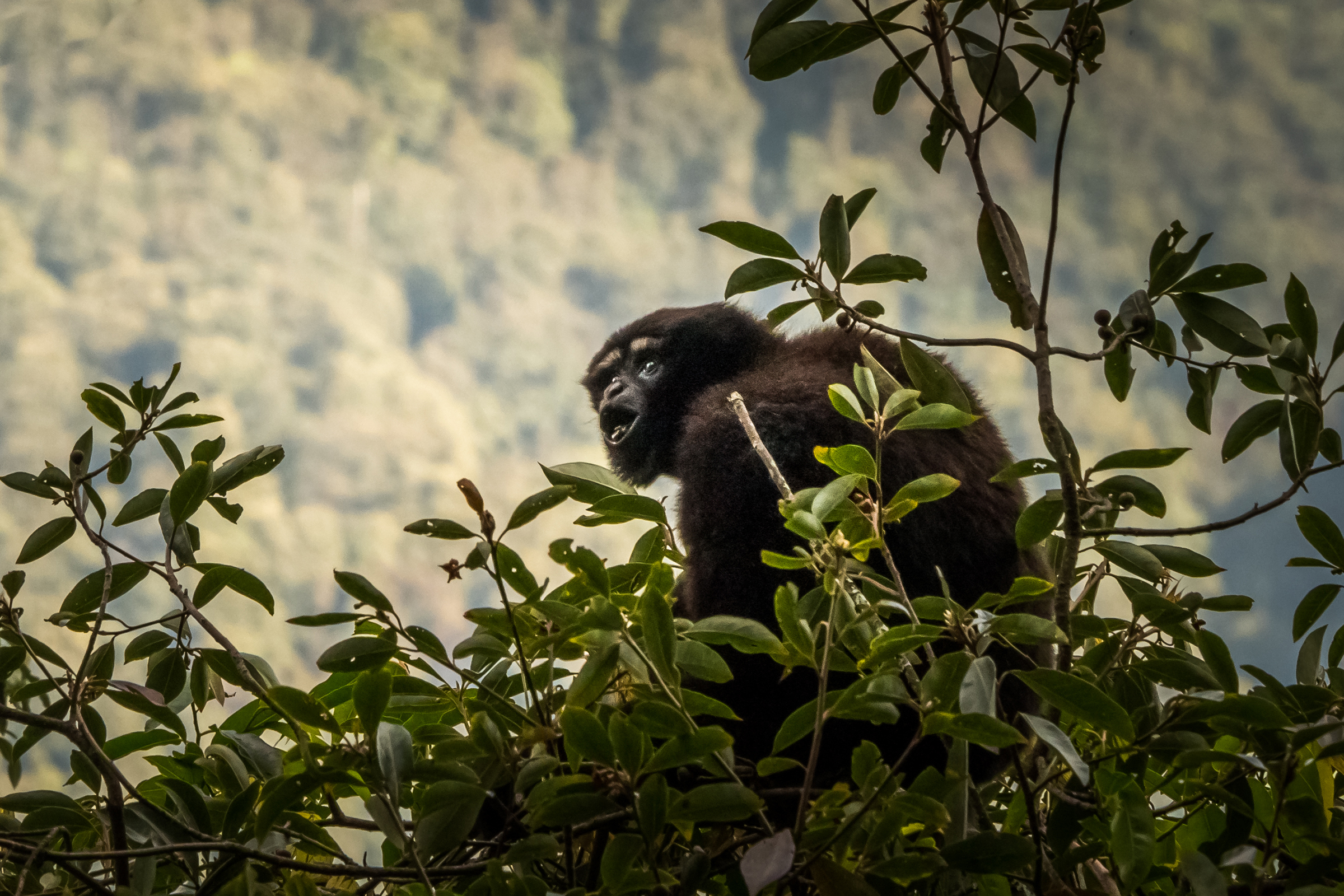 Skywalker gibbon songs can last up to 30 minutes and can be heard from more than a mile away.
