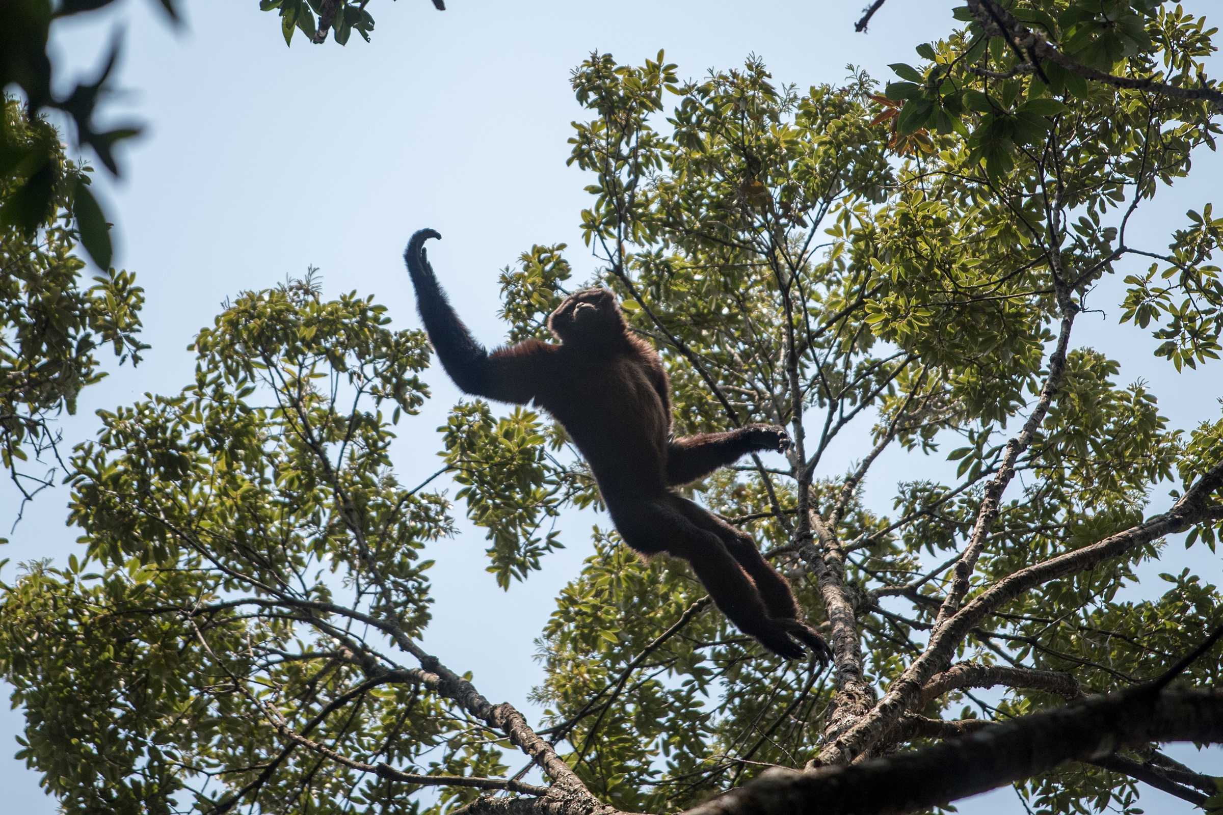 Gibbons use a form of locomotion called brachiation, which involves swinging and jumping from branch to branch, often high in the forest canopy.