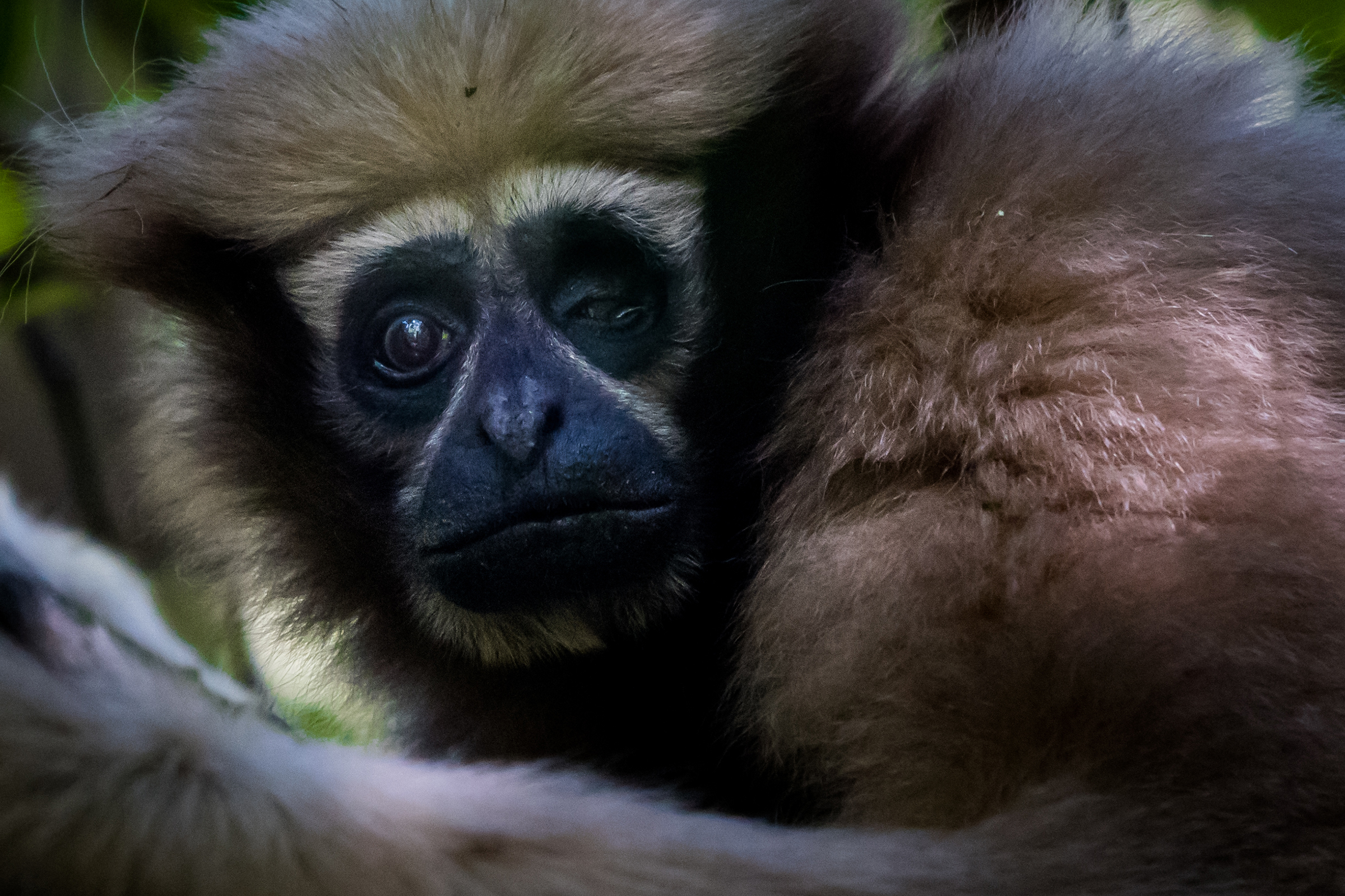 A female gibbon that the rangers have named Ama is nearing the end of her life. With an injury to one eye, she moves more slowly through the canopy than her mate Agong.