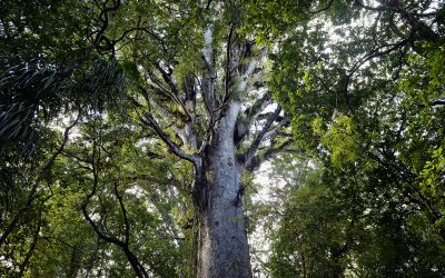 Large kauri tree framed by green foliage, Waipoua Forest, Northland. Photograph by Arno Gasteiger.