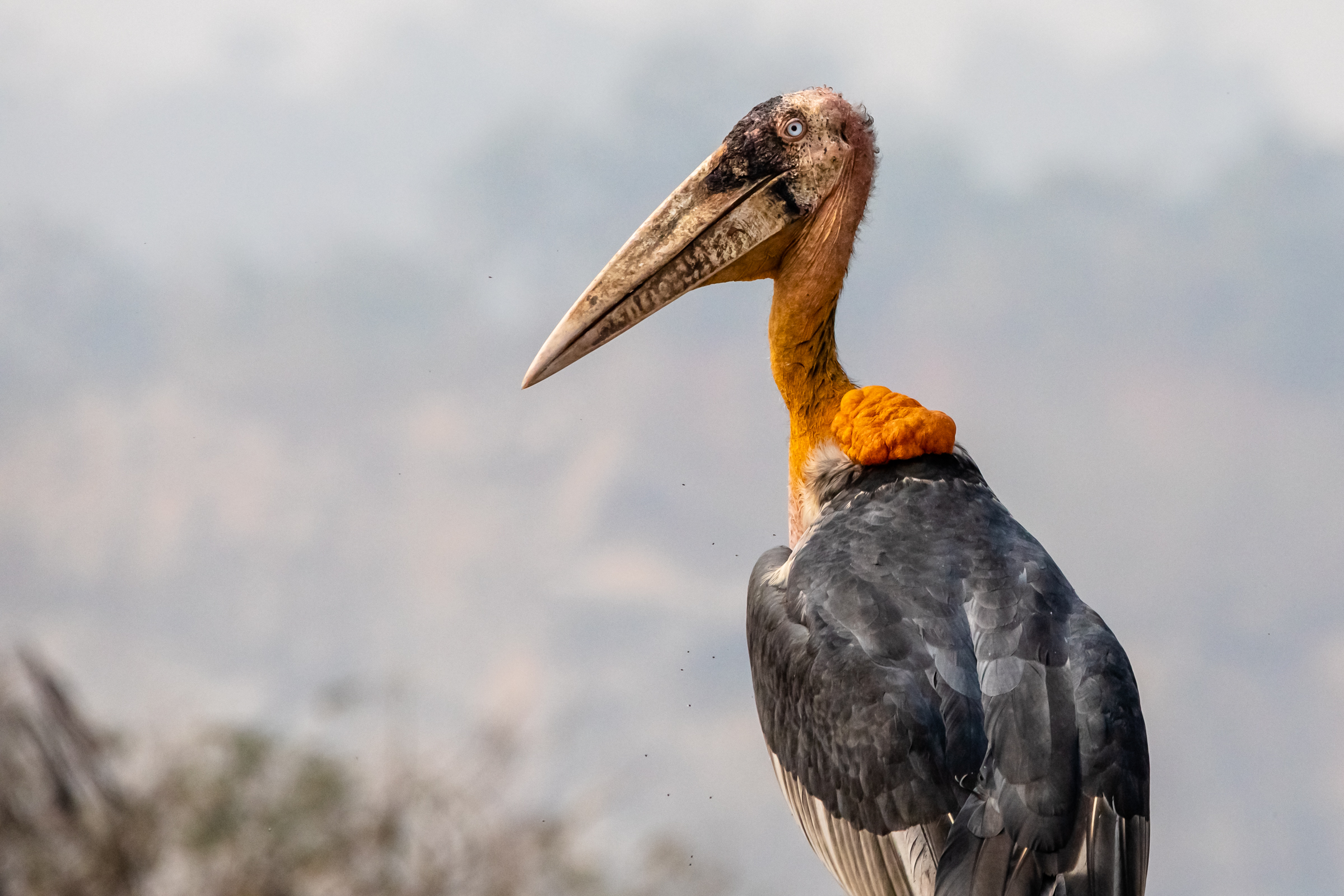An endangered greater adjutant is pictured amongst the garbage in the Boragaon landfill located in Guwahati, Assam India. The landfill has the largest year-round concentration of the species in the world, and has become an important non-traditional habitat.