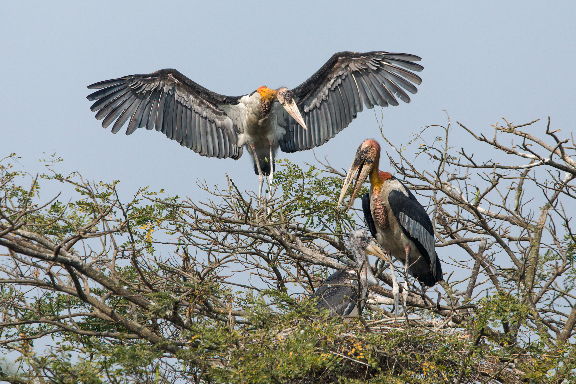 Adult greater adjutants perch next to their lone nestling. Villagers of the Kamrup District now protect the storks' nesting trees, which are often located in their backyards.