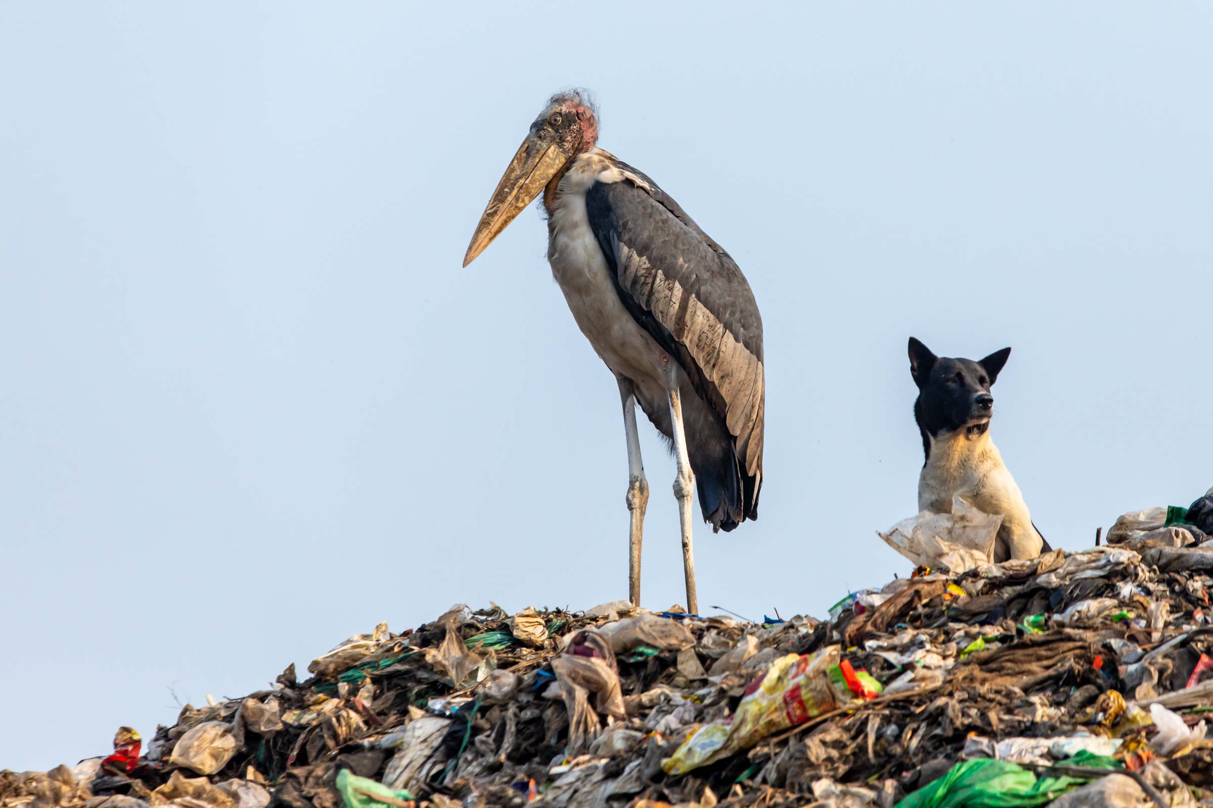 An endangered greater adjutant is seen here next t0 a stray dog in the Boragaon landfill located in Guwahati, Assam India.